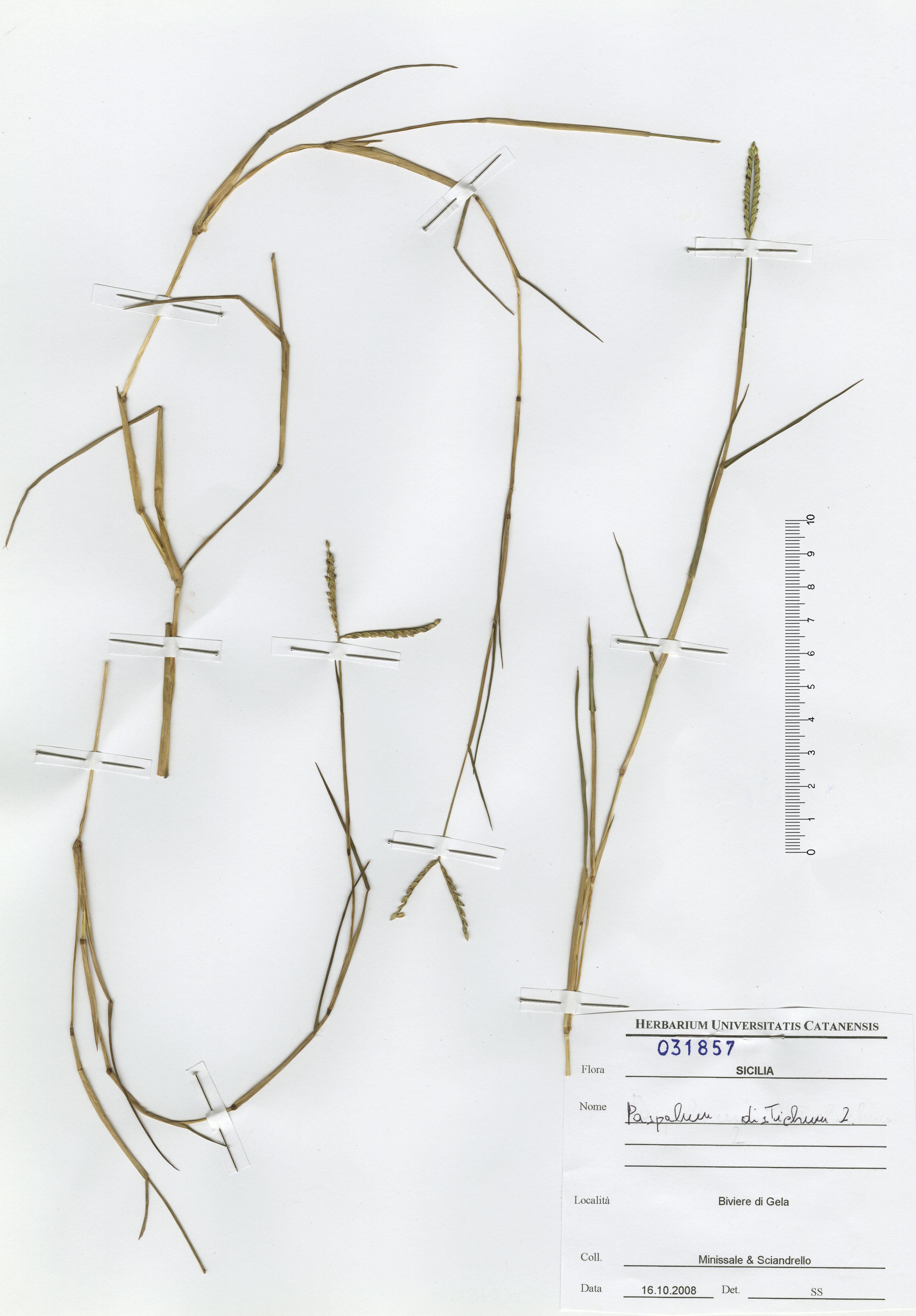 © Hortus Botanicus Catinensis - Herb. sheet 031857<br>