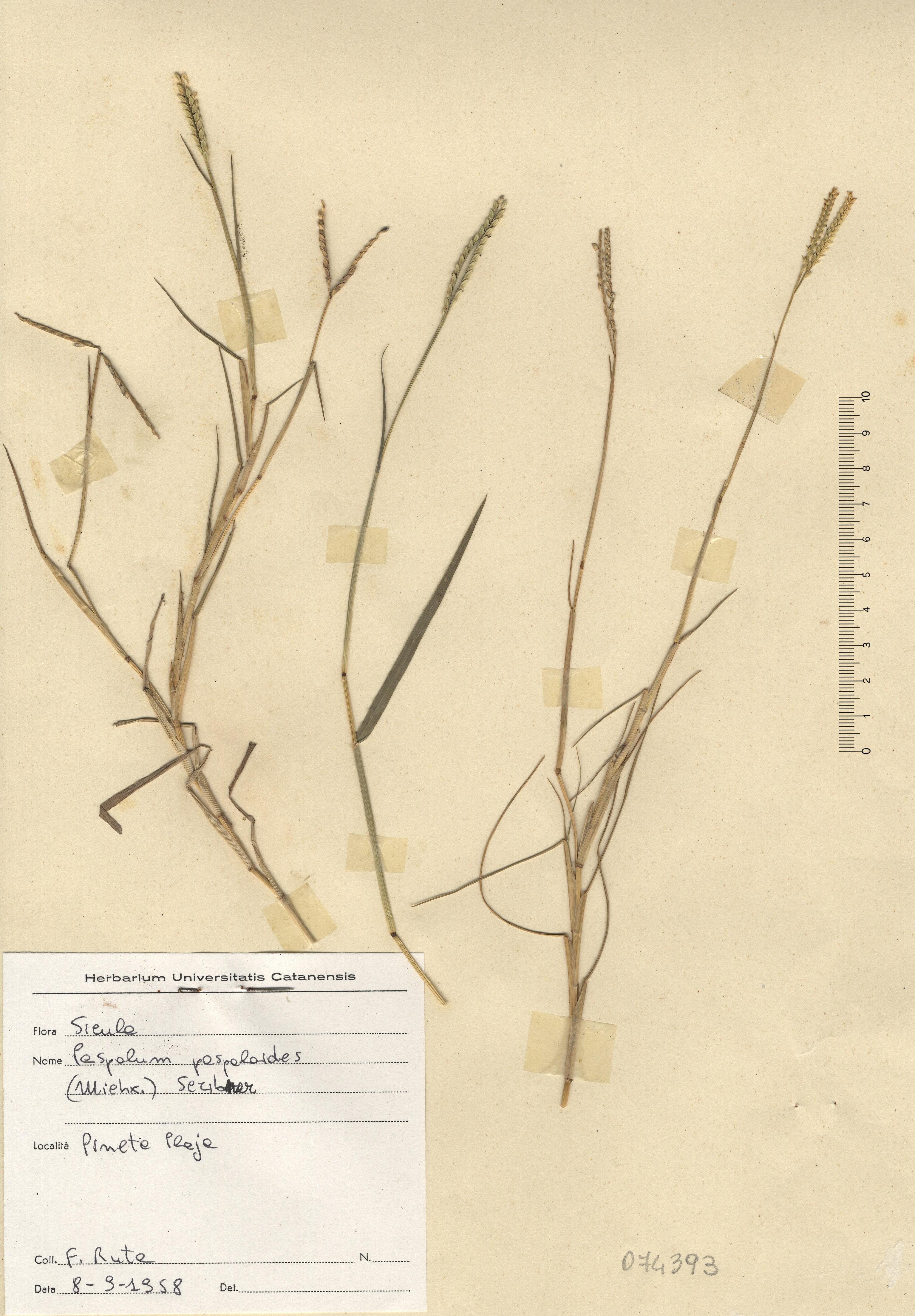 © Hortus Botanicus Catinensis - Herb. sheet 074393<br>