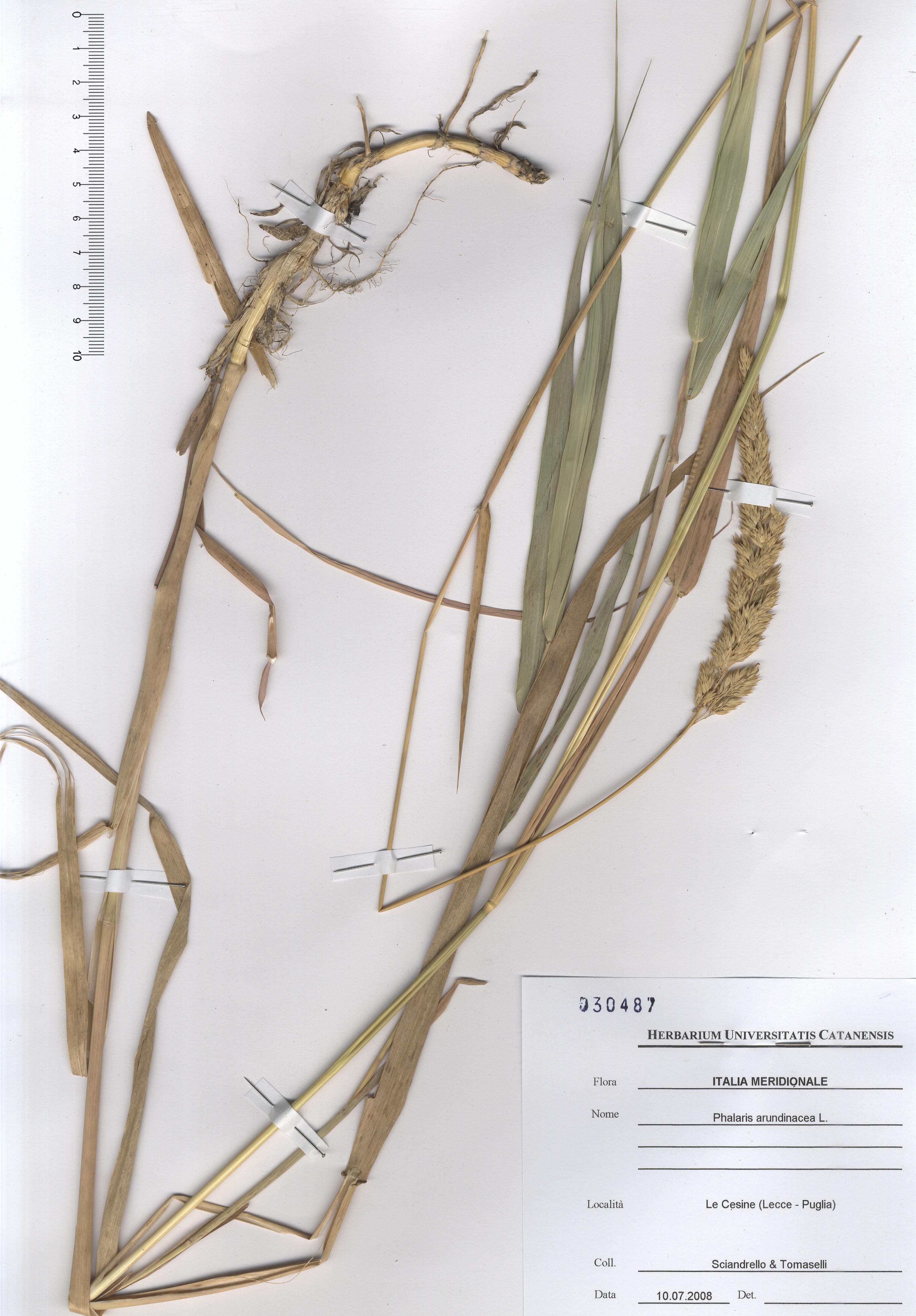 © Hortus Botanicus Catinensis - Herb. sheet 030487<br>