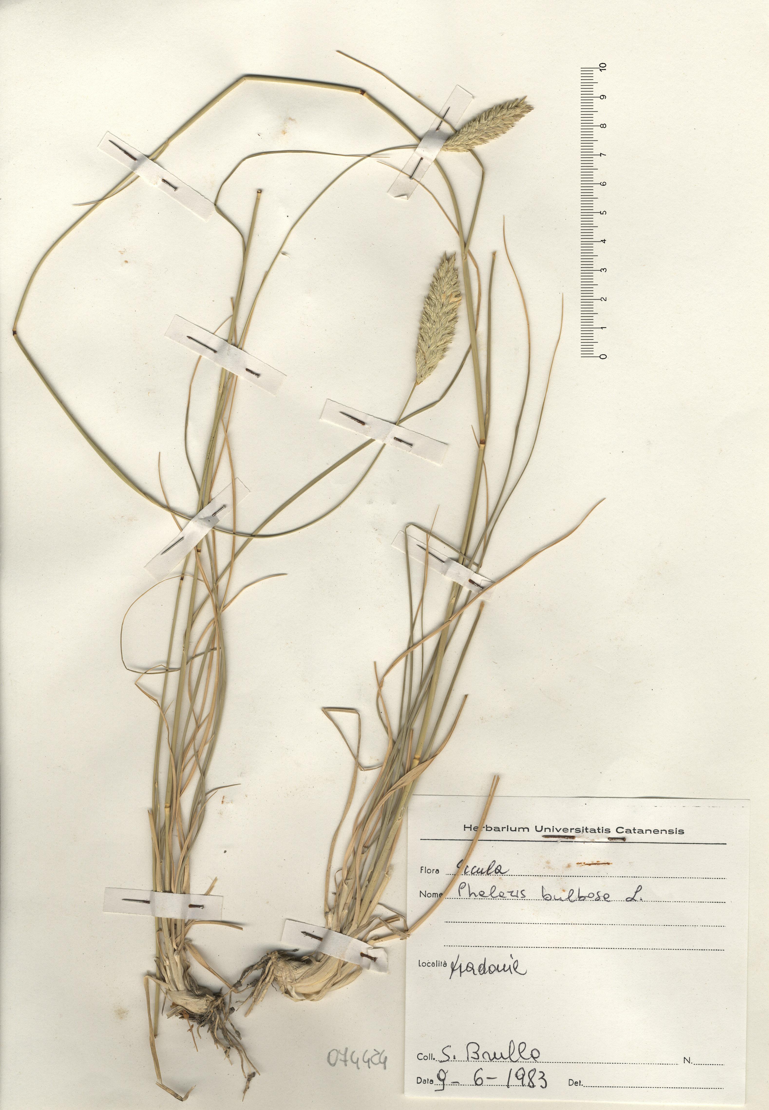 © Hortus Botanicus Catinensis - Herb. sheet 074424<br>