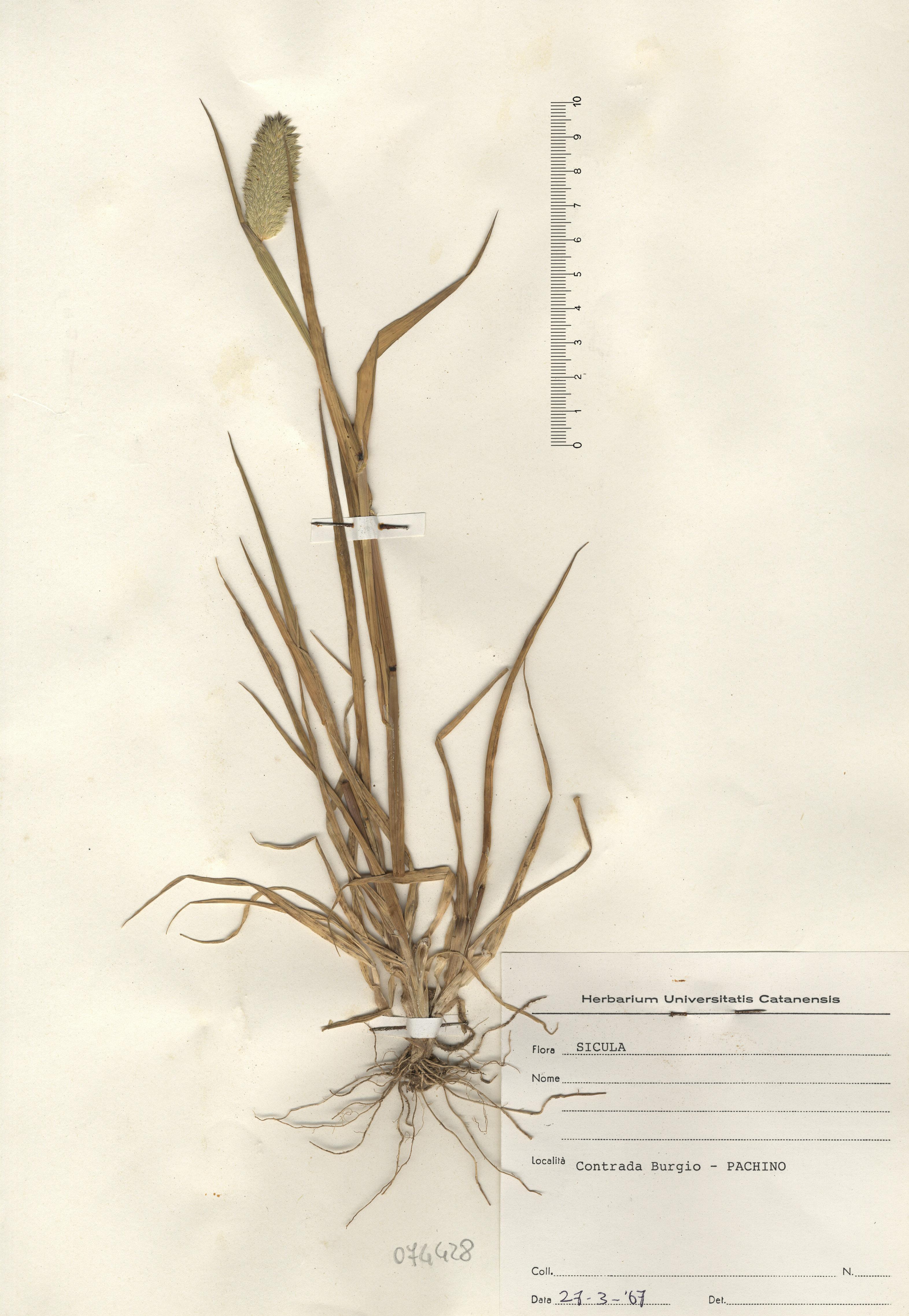 © Hortus Botanicus Catinensis - Herb. sheet 074428<br>