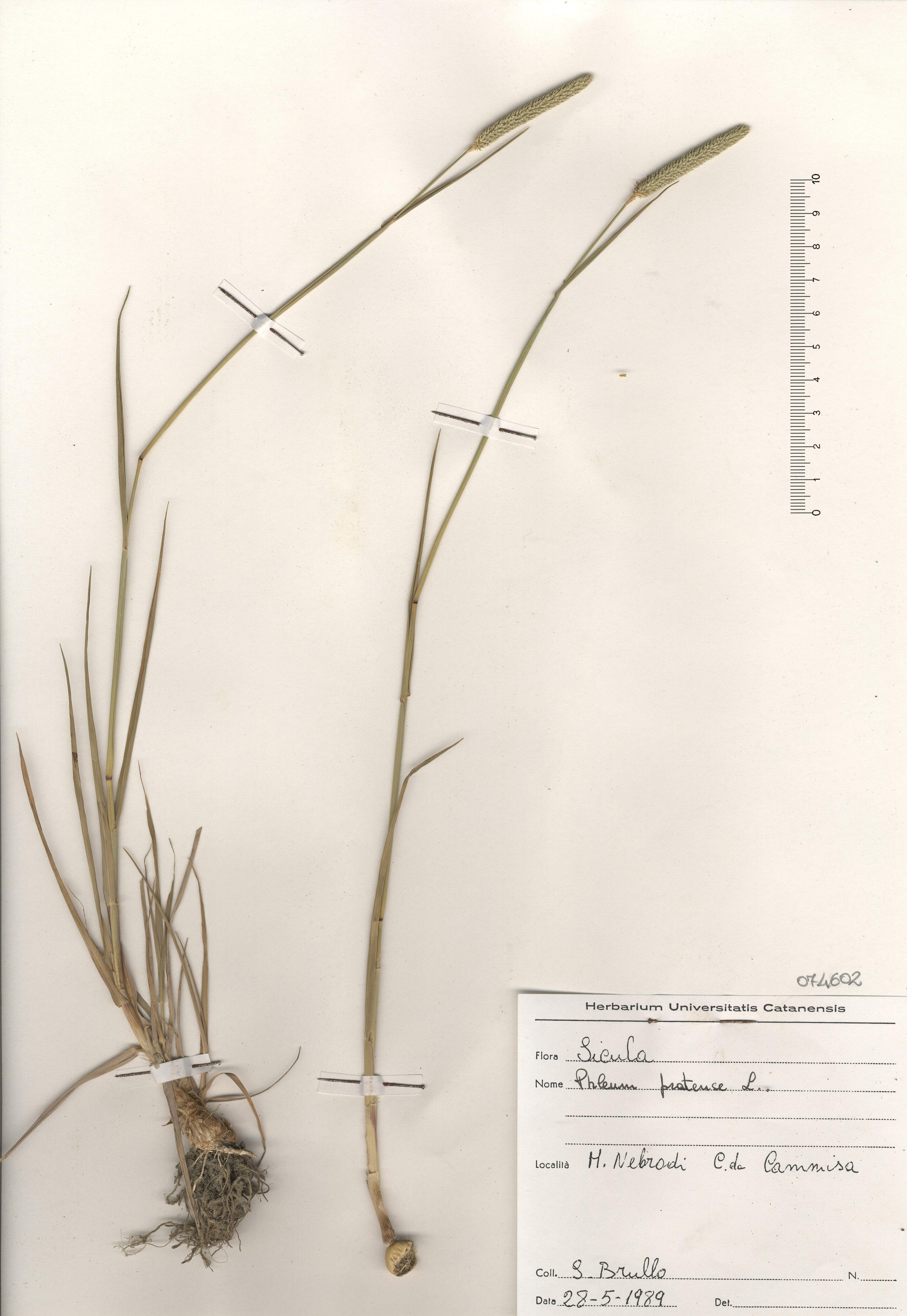 © Hortus Botanicus Catinensis - Herb. sheet 074602<br>