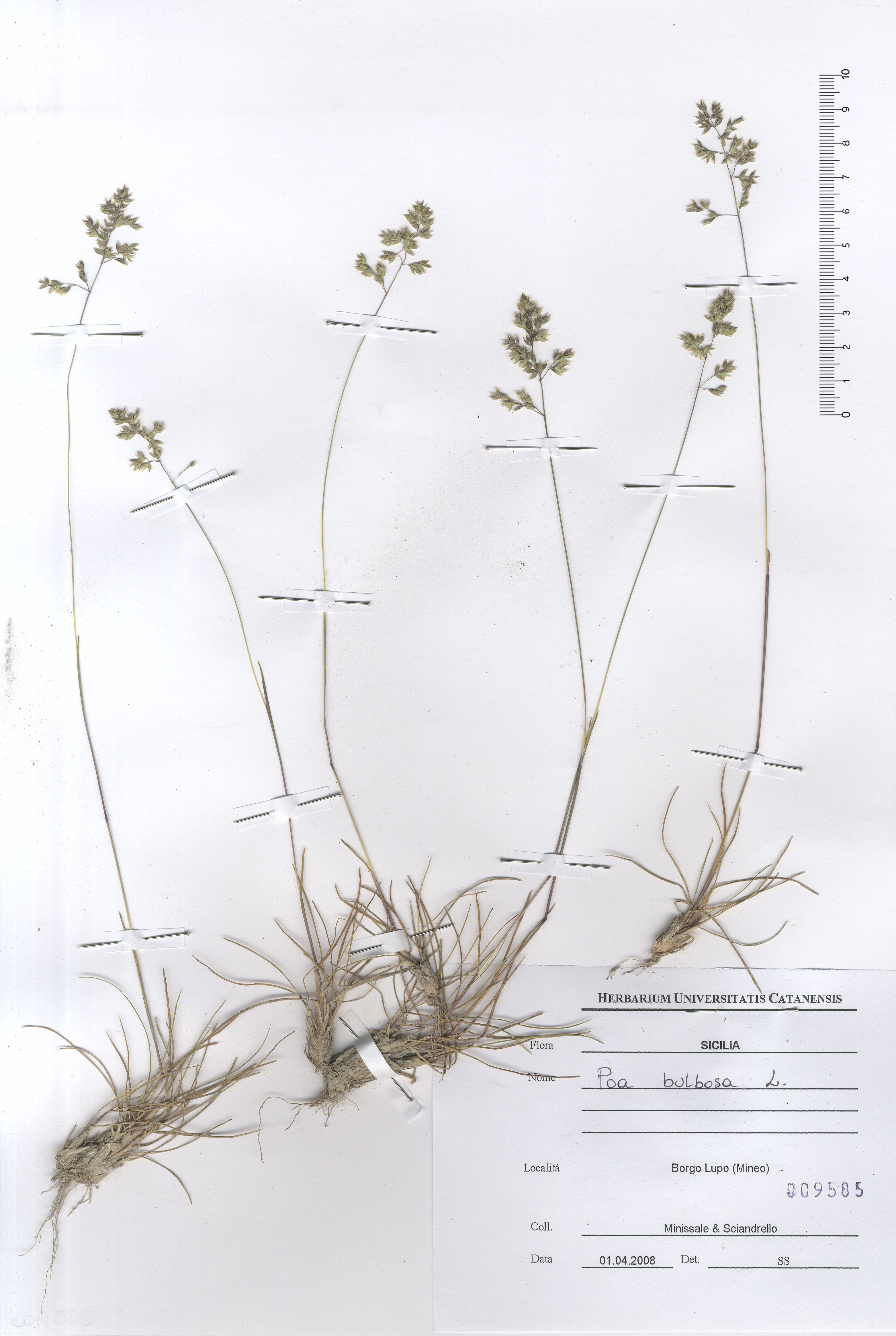 © Hortus Botanicus Catinensis - Herb. sheet 009585<br>