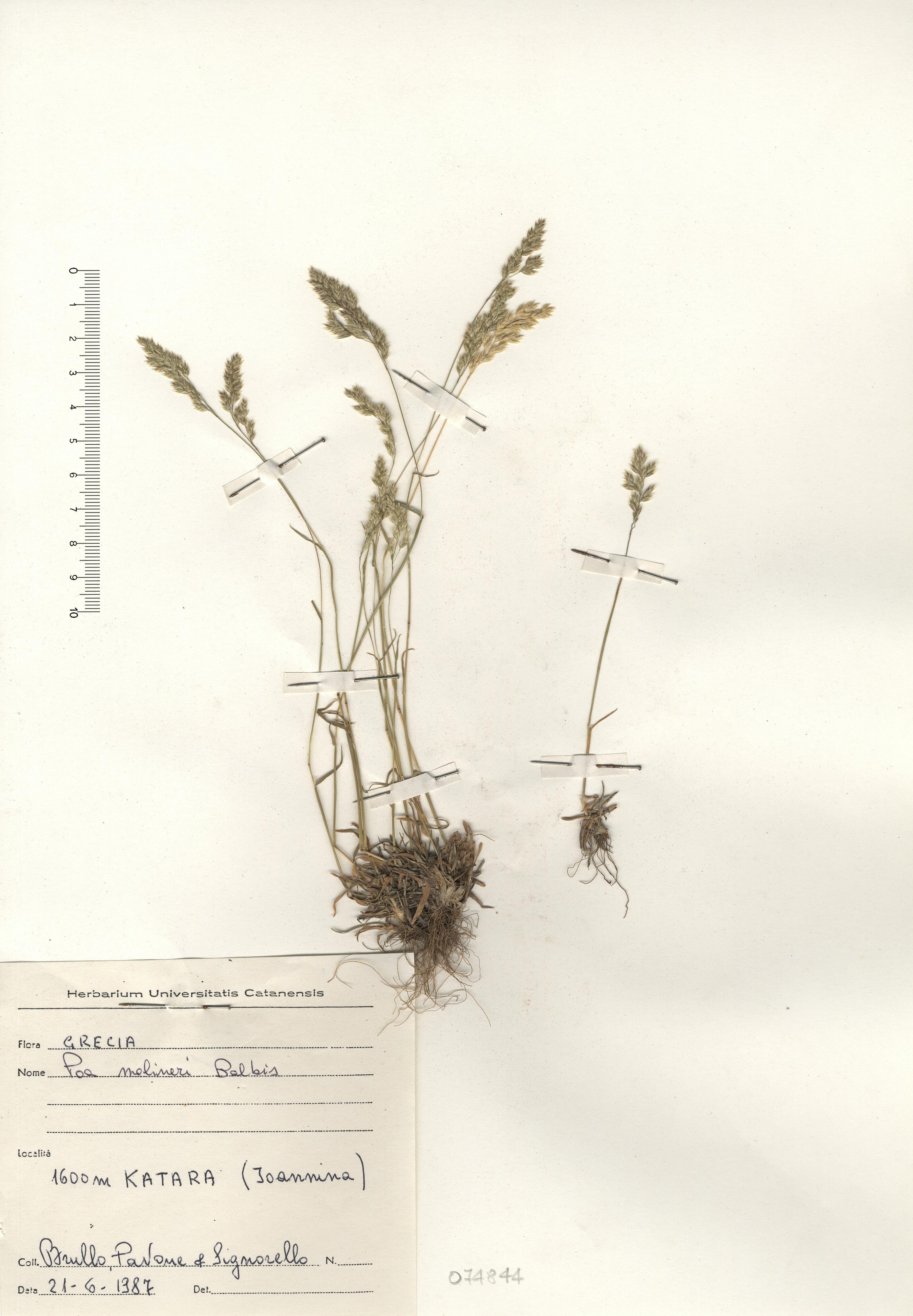 © Hortus Botanicus Catinensis - Herb. sheet 074944<br>