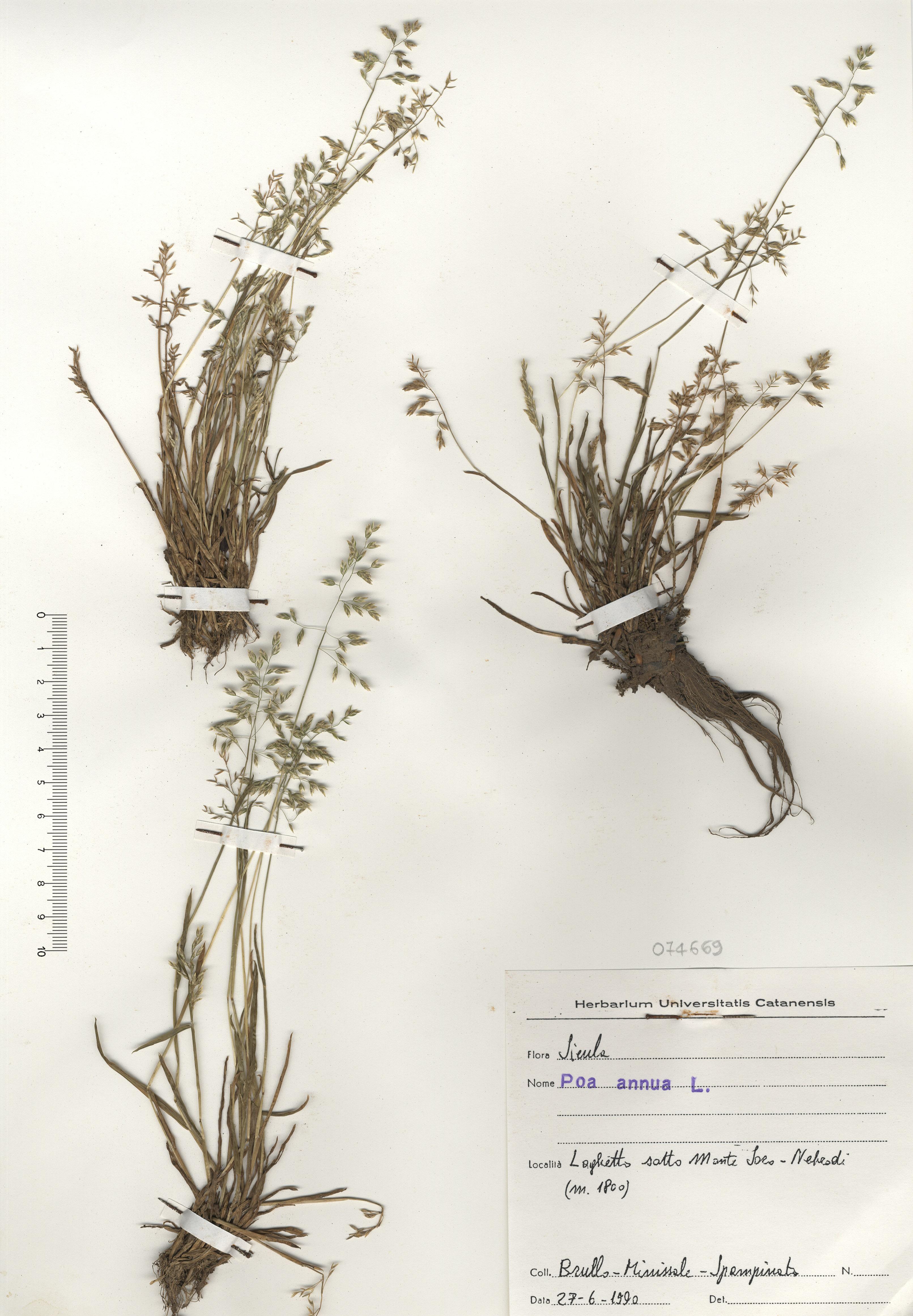 © Hortus Botanicus Catinensis - Herb. sheet 074669<br>