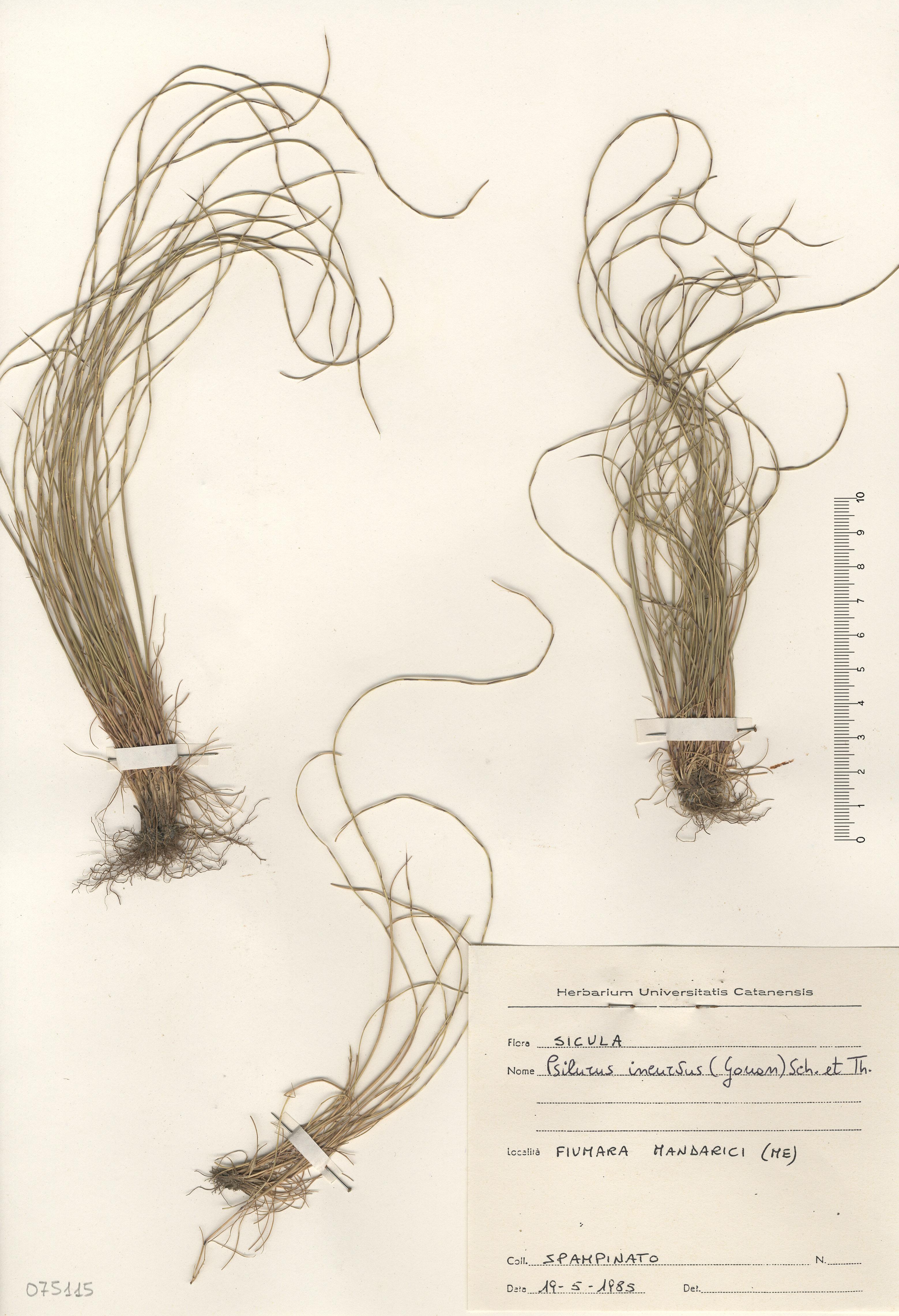 © Hortus Botanicus Catinensis - Herb. sheet 075115<br>