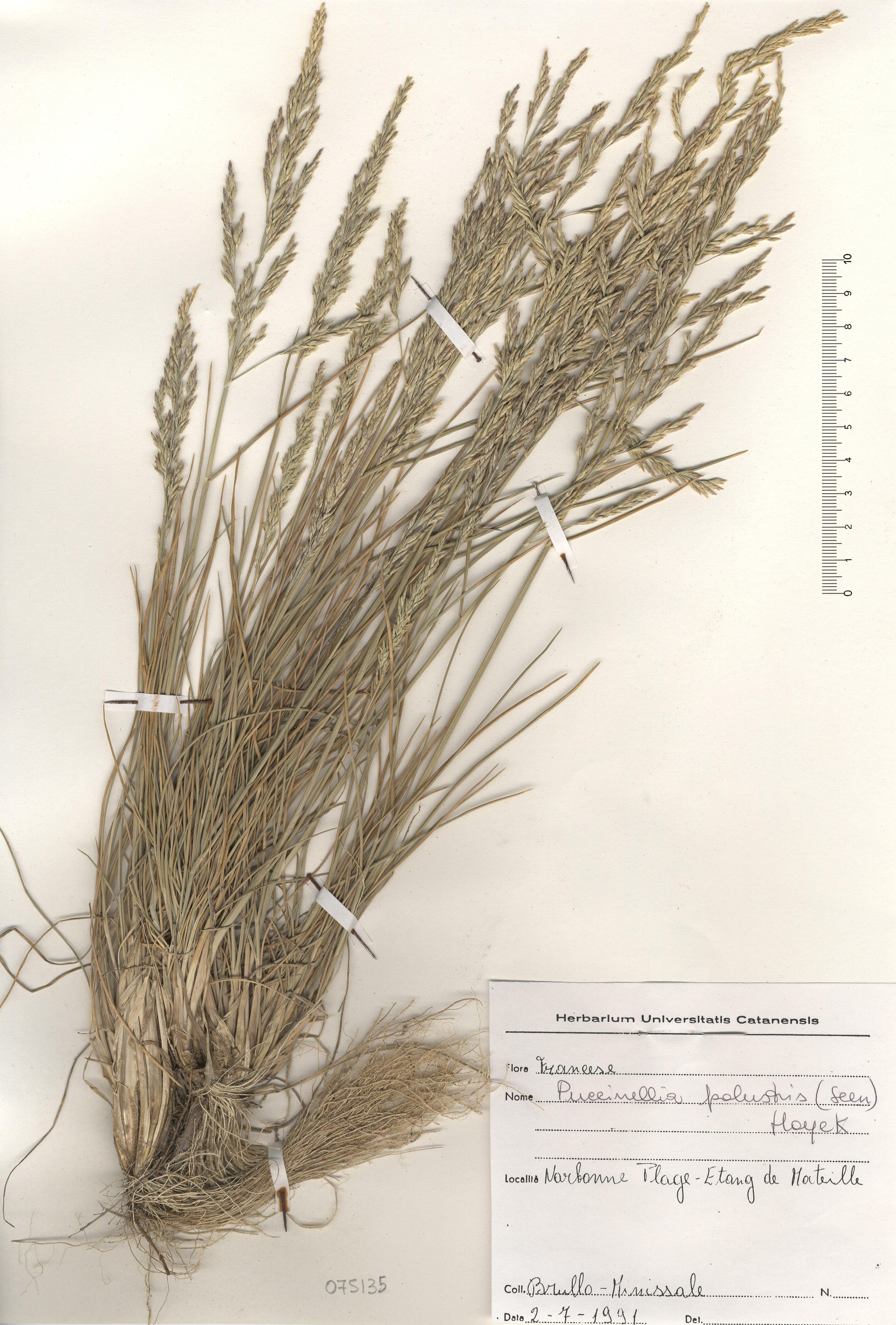 © Hortus Botanicus Catinensis - Herb. sheet 075135<br>