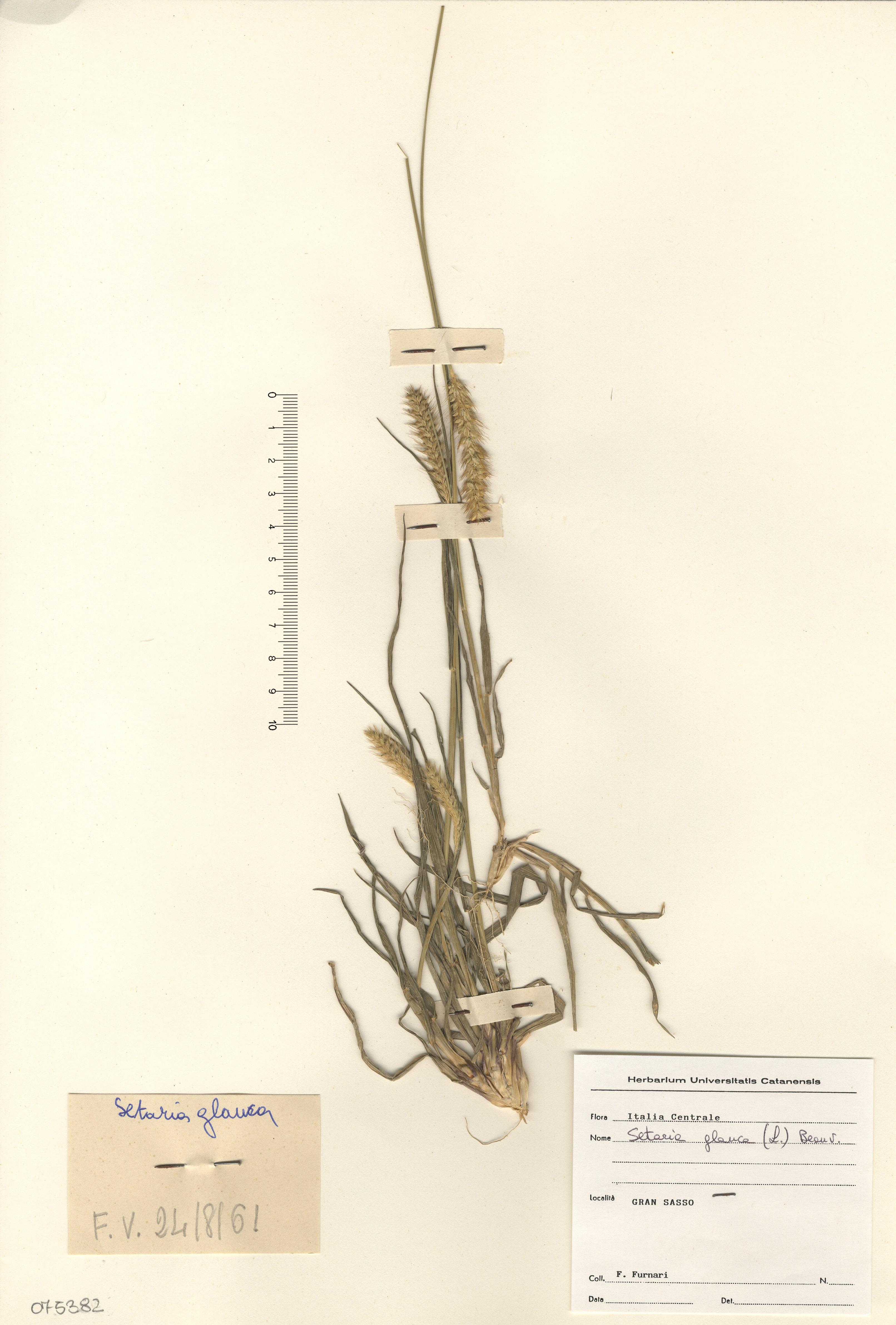 © Hortus Botanicus Catinensis - Herb. sheet 075382<br>