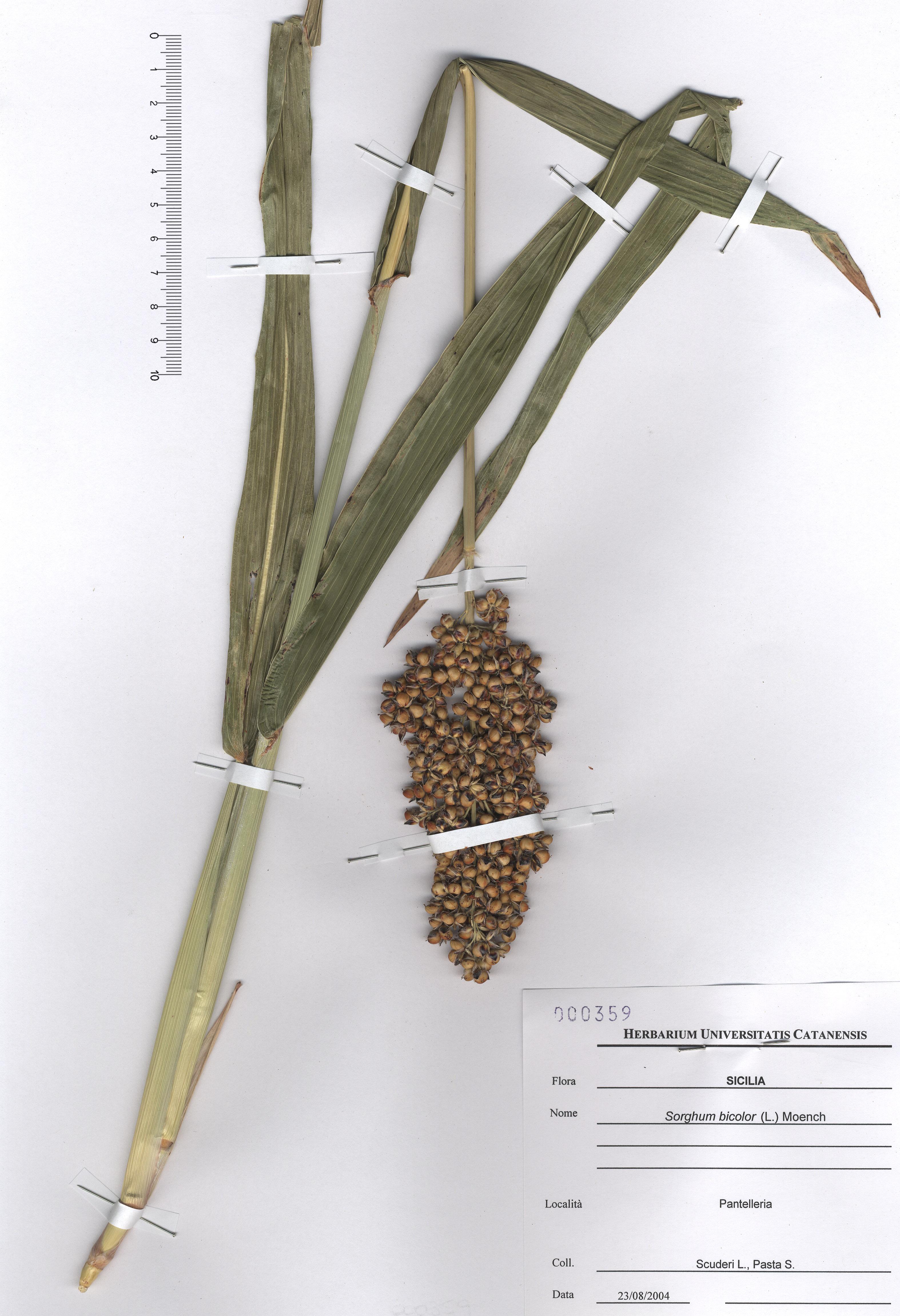 © Hortus Botanicus Catinensis - Herb. sheet 000359<br>