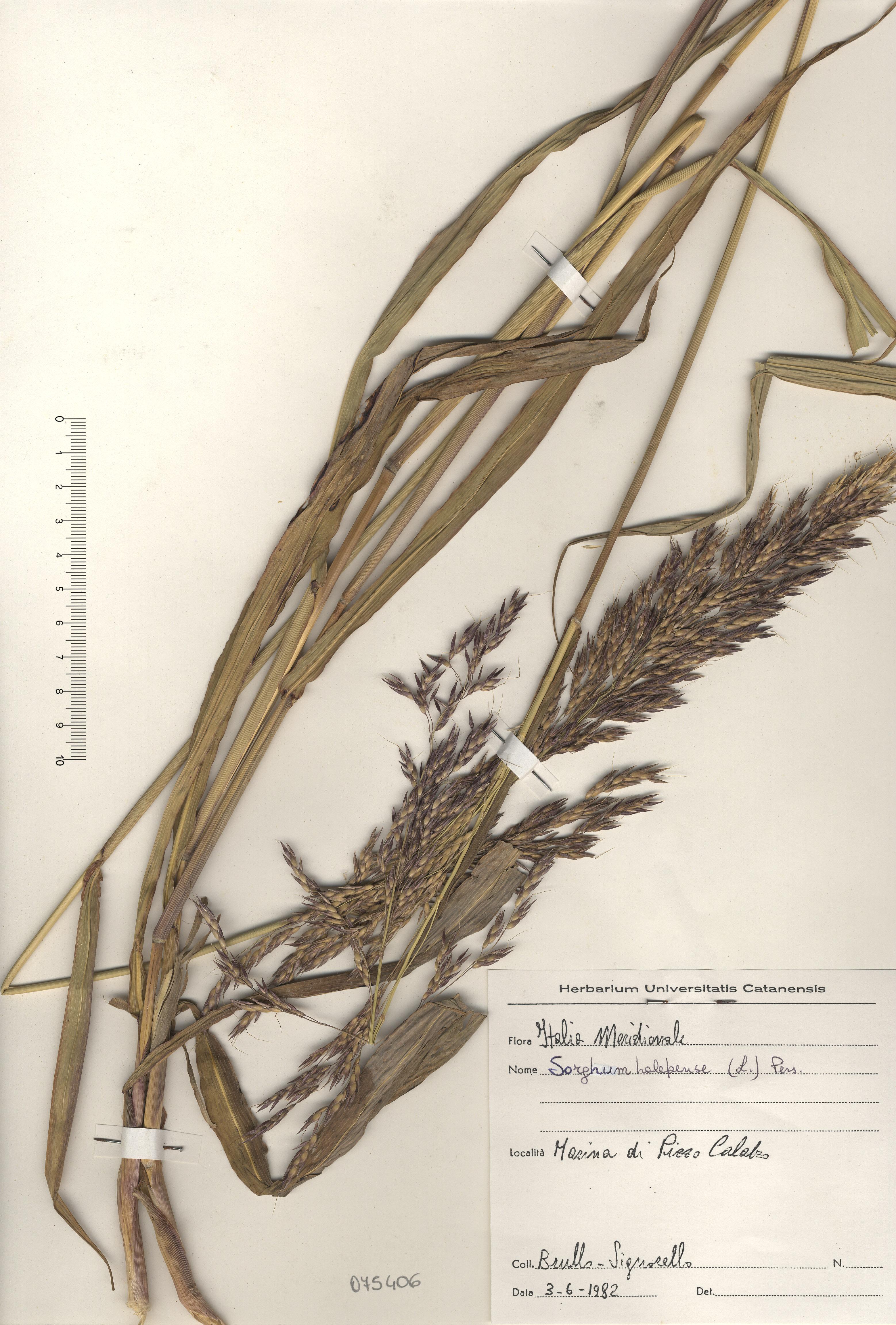 © Hortus Botanicus Catinensis - Herb. sheet 075406<br>