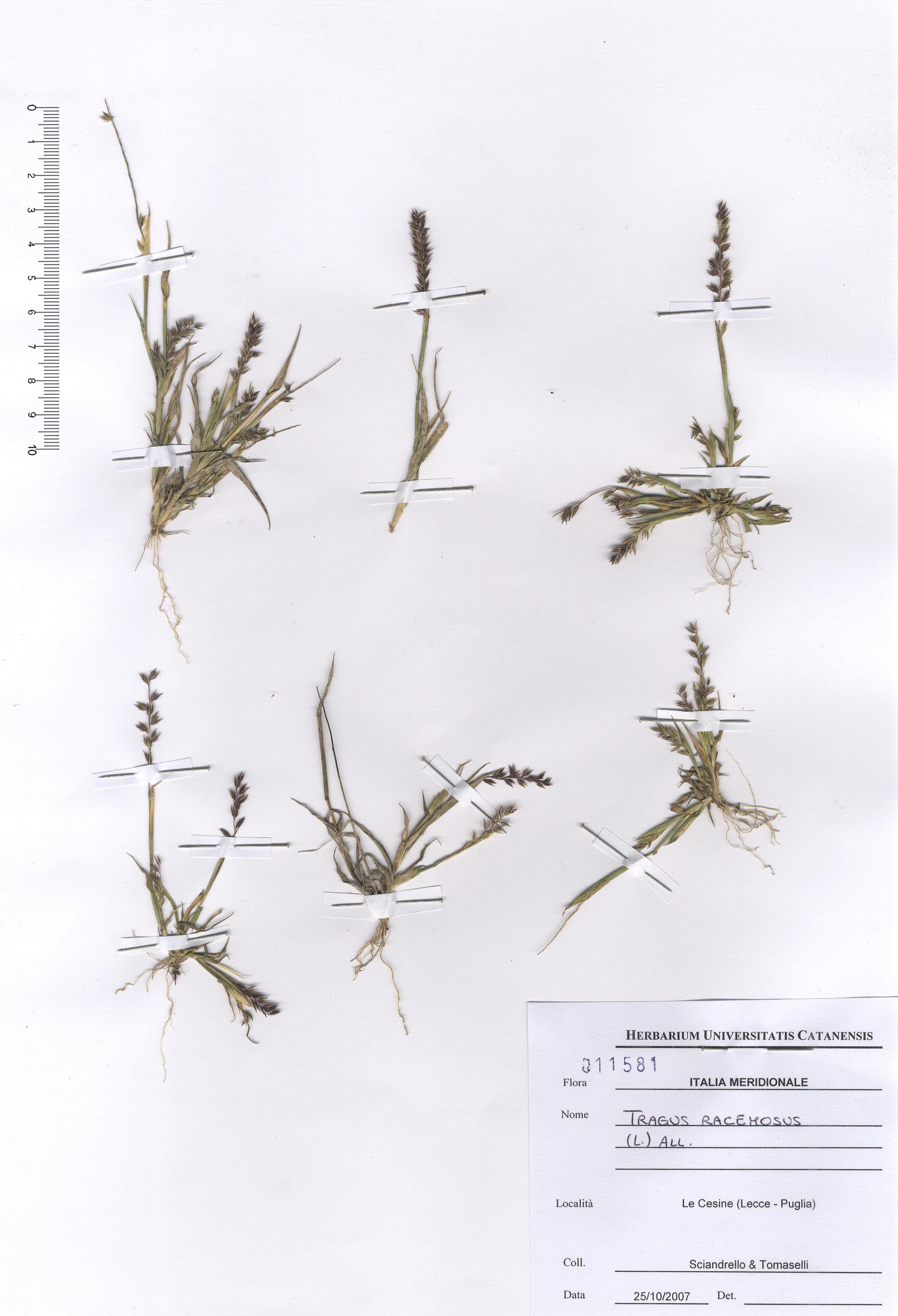 © Hortus Botanicus Catinensis - Herb. sheet 011581<br>