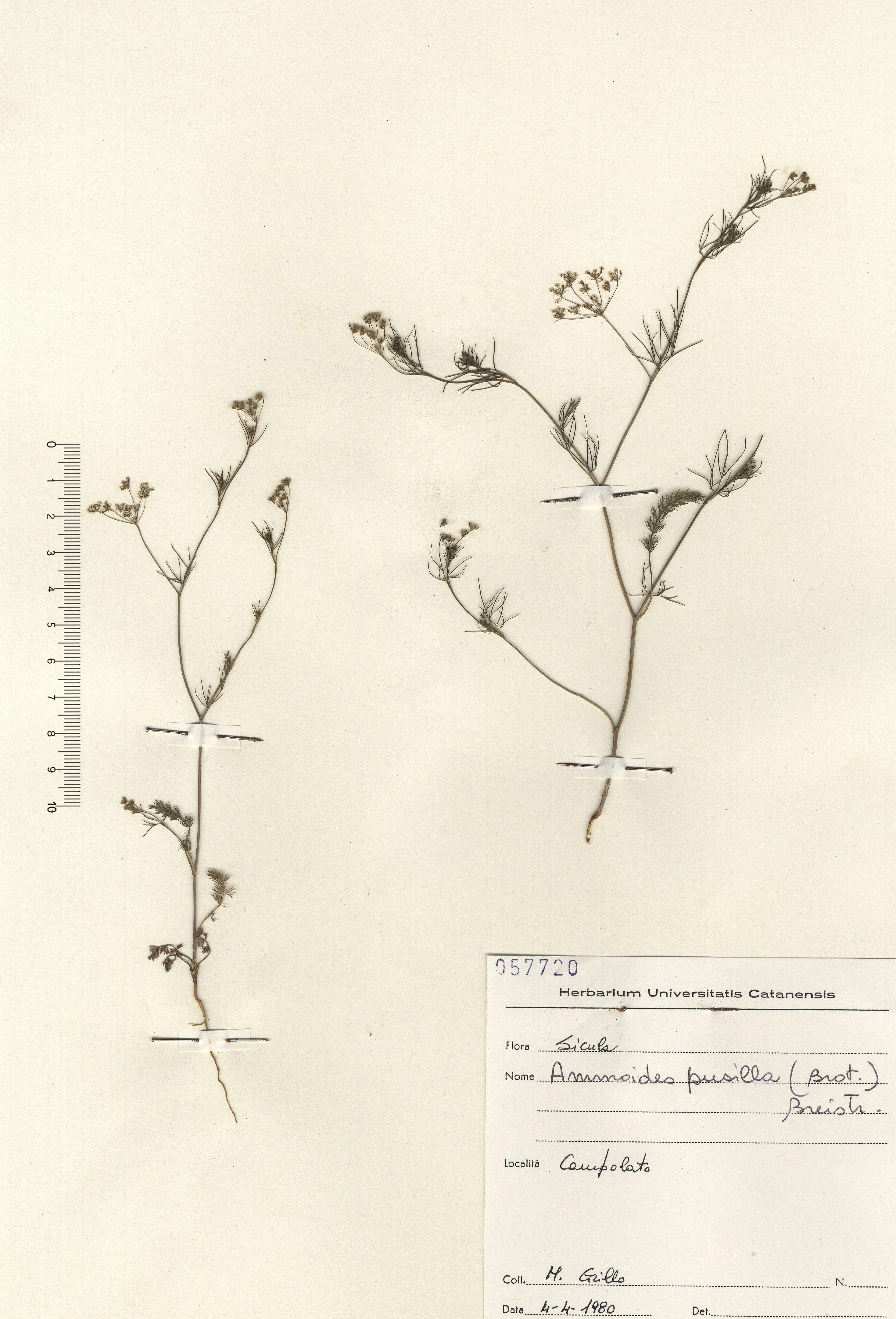 © Hortus Botanicus Catinensis - Herb sheet 057720<br>