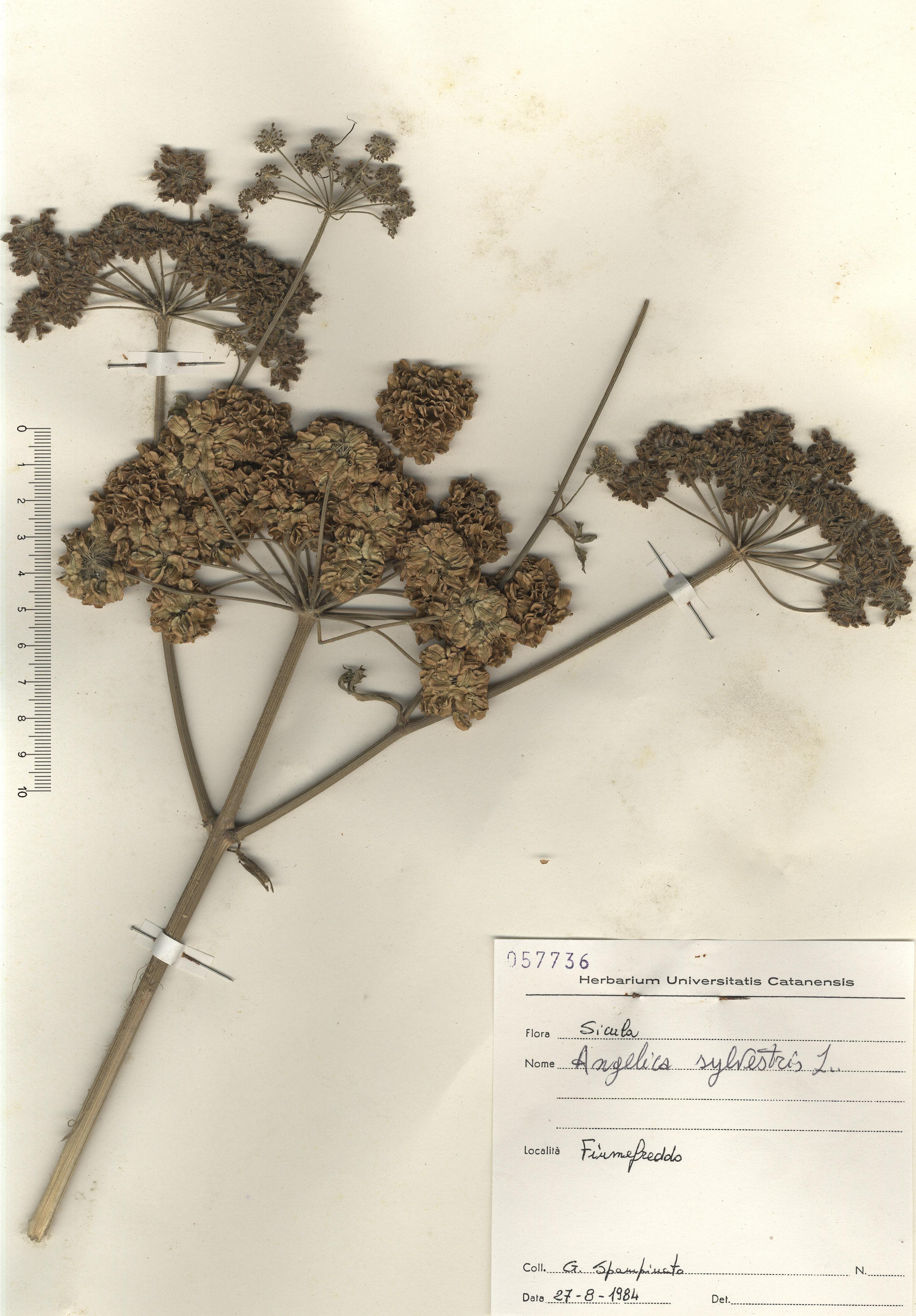 © Hortus Botanicus Catinensis - Herb sheet 057736<br>