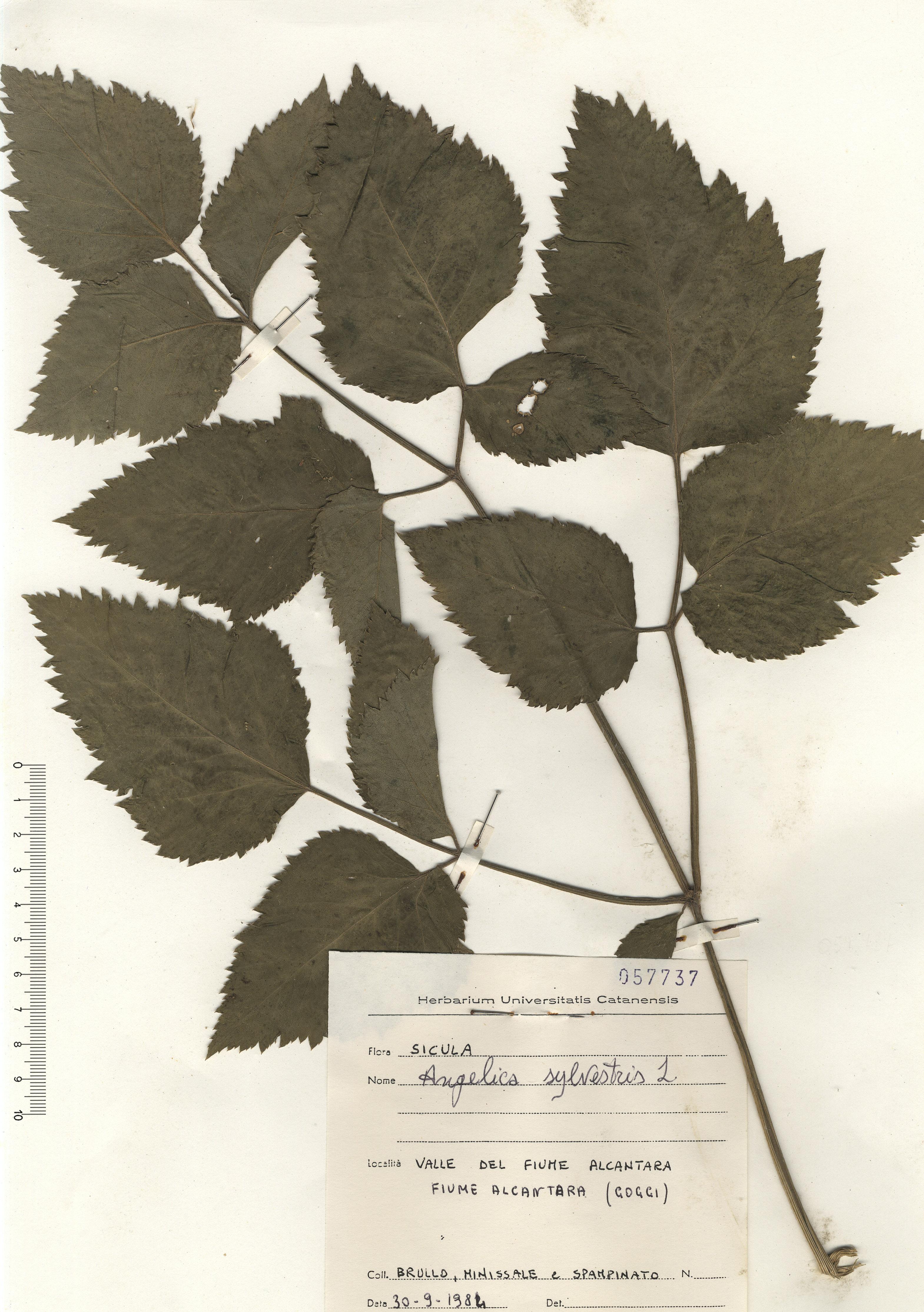 © Hortus Botanicus Catinensis - Herb sheet 057737<br>