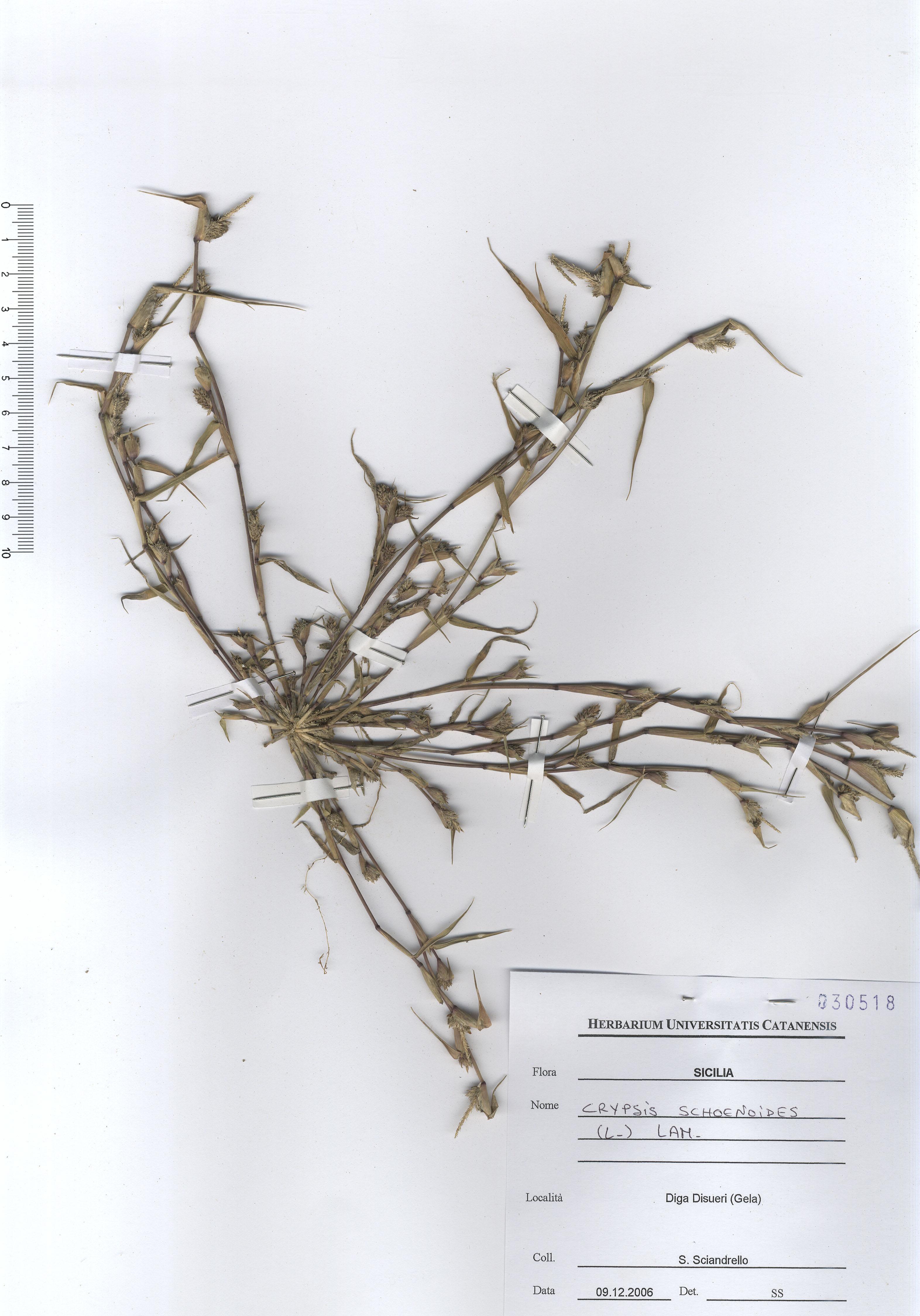 © Hortus Botanicus Catinensis - Herb. sheet 030518<br>