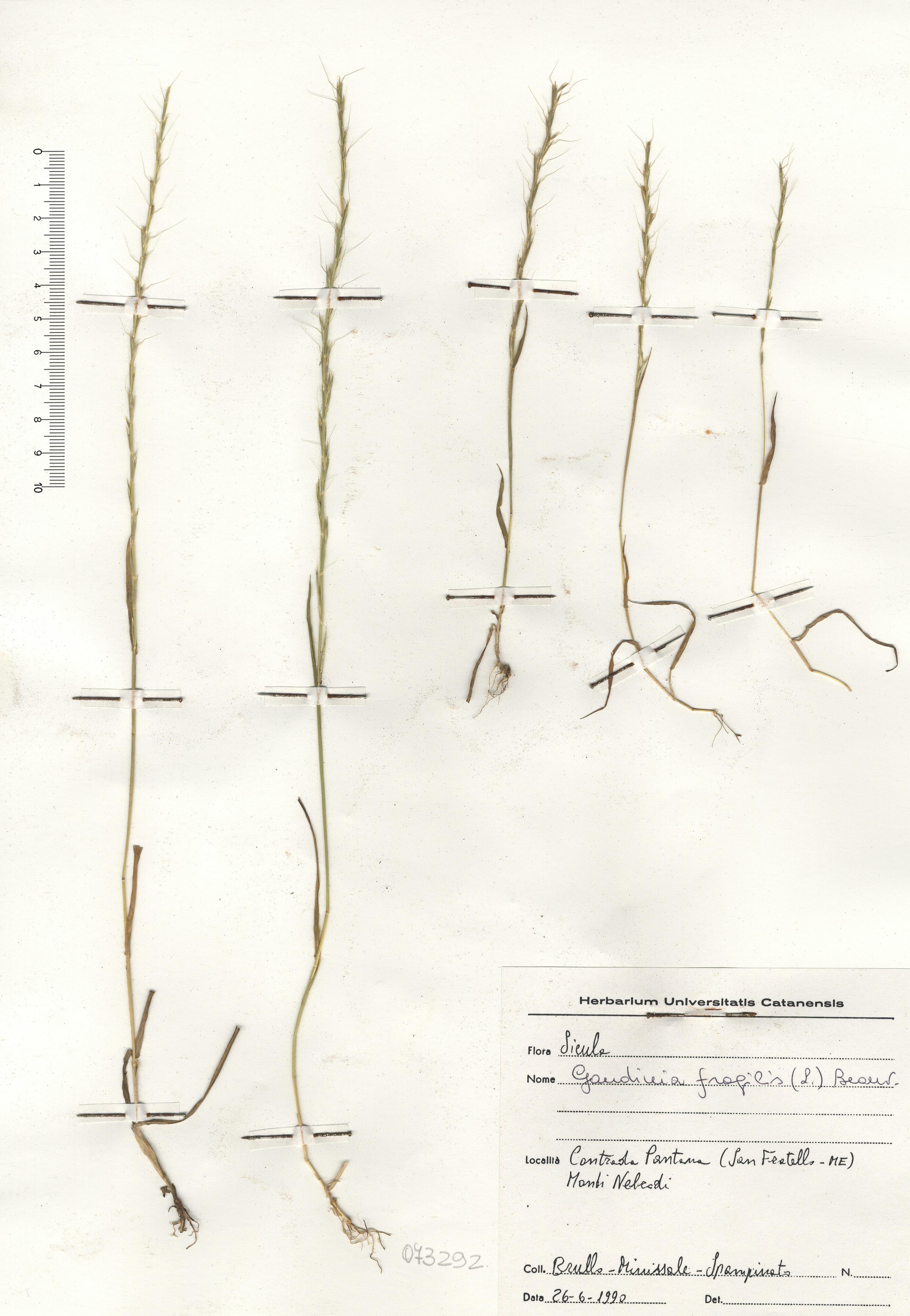 © Hortus Botanicus Catinensis - Herb. sheet 073292<br>