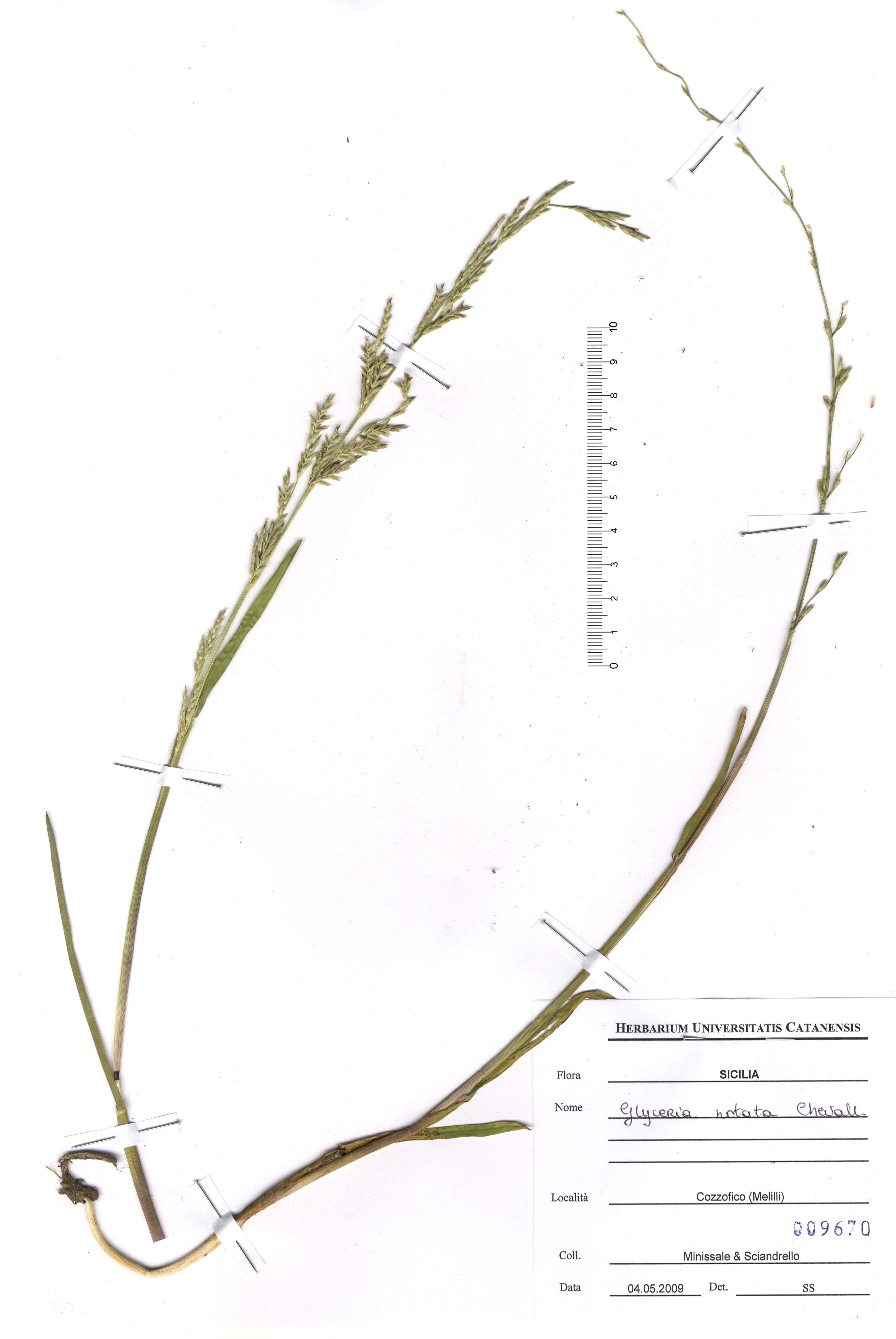 © Hortus Botanicus Catinensis - Herb. sheet 009670<br>