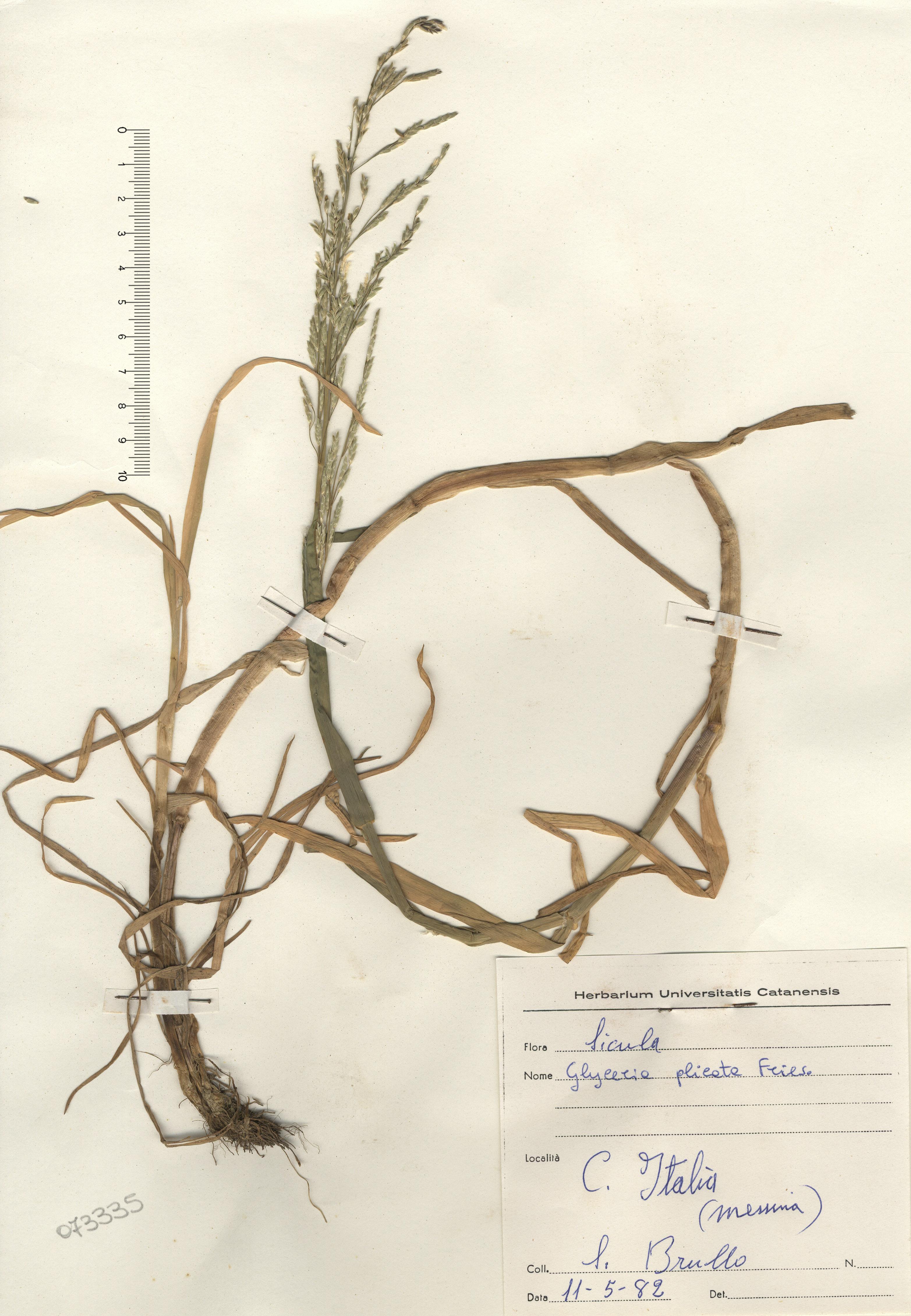© Hortus Botanicus Catinensis - Herb. sheet 073335<br>