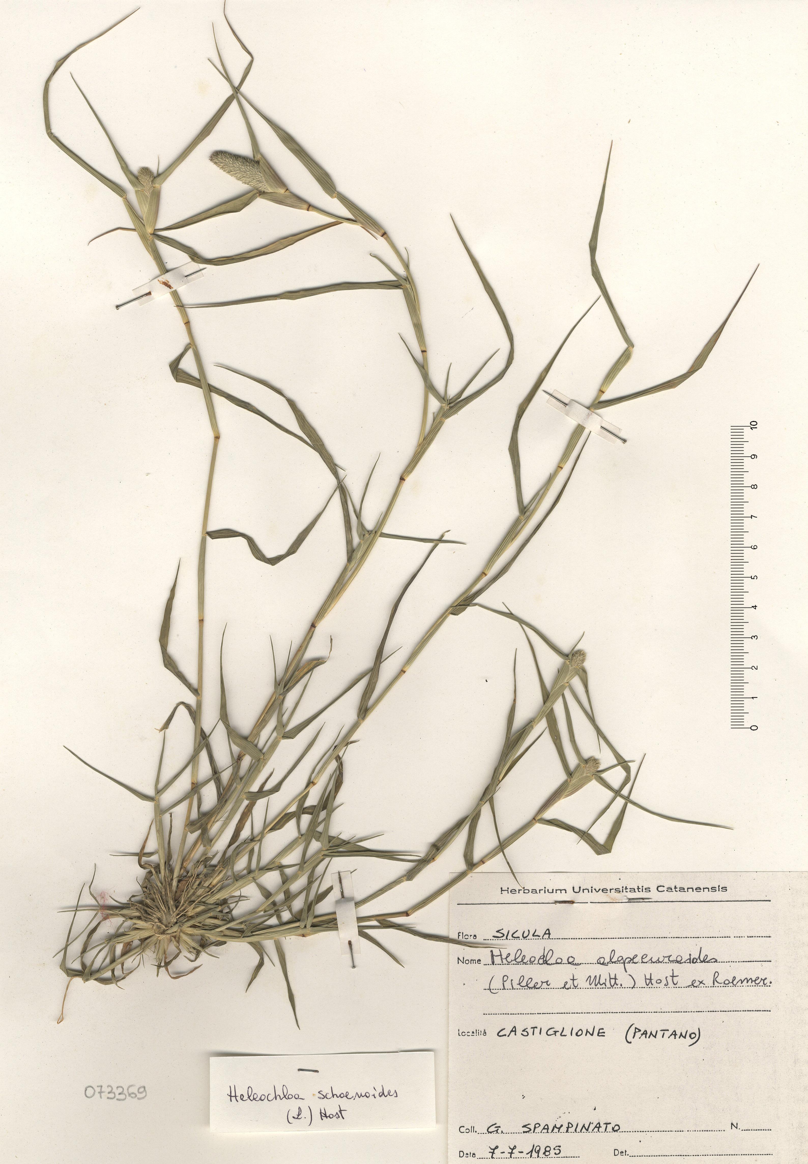 © Hortus Botanicus Catinensis - Herb. sheet 073369<br>