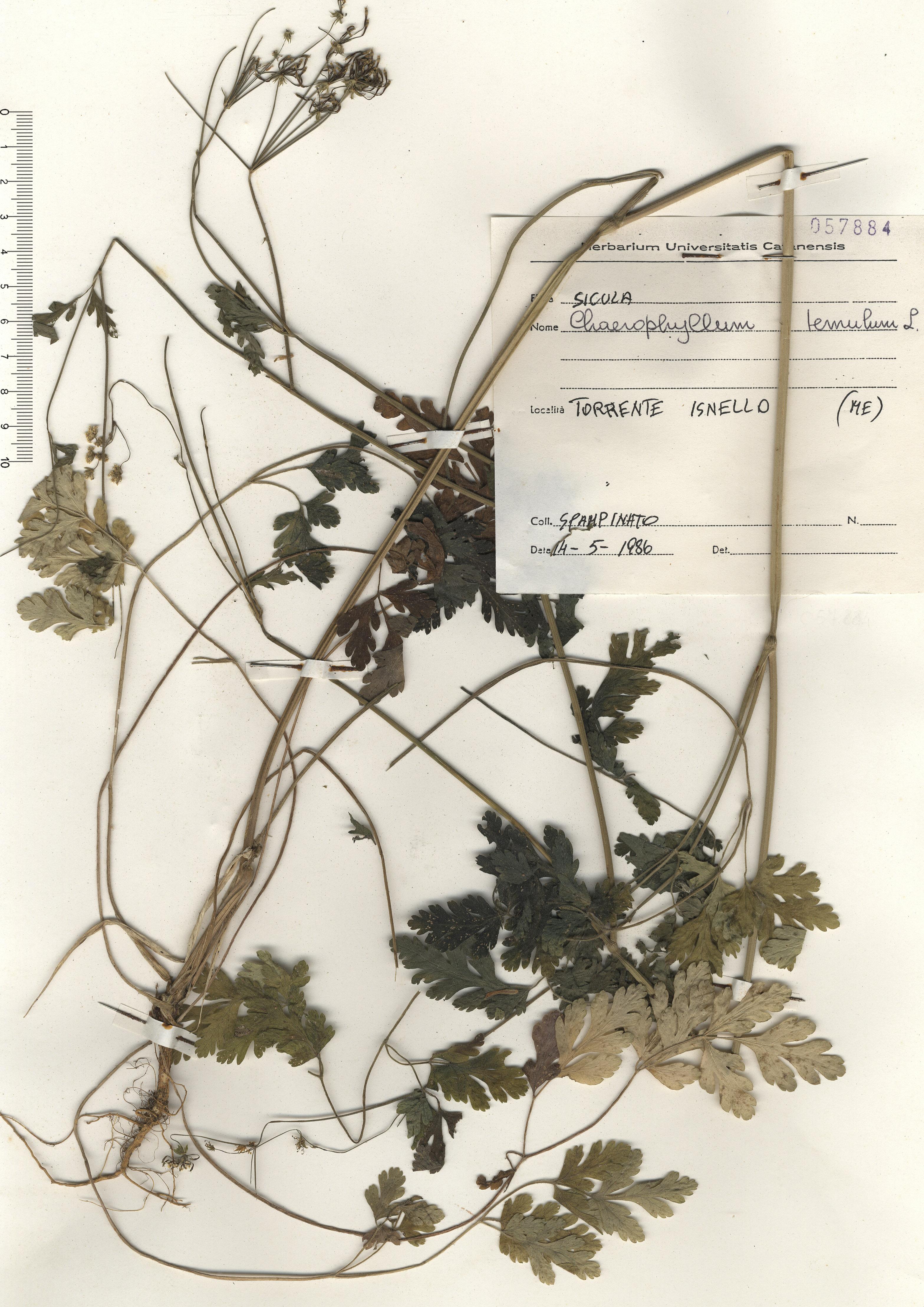 © Hortus Botanicus Catinensis - Herb. sheet 057884<br>