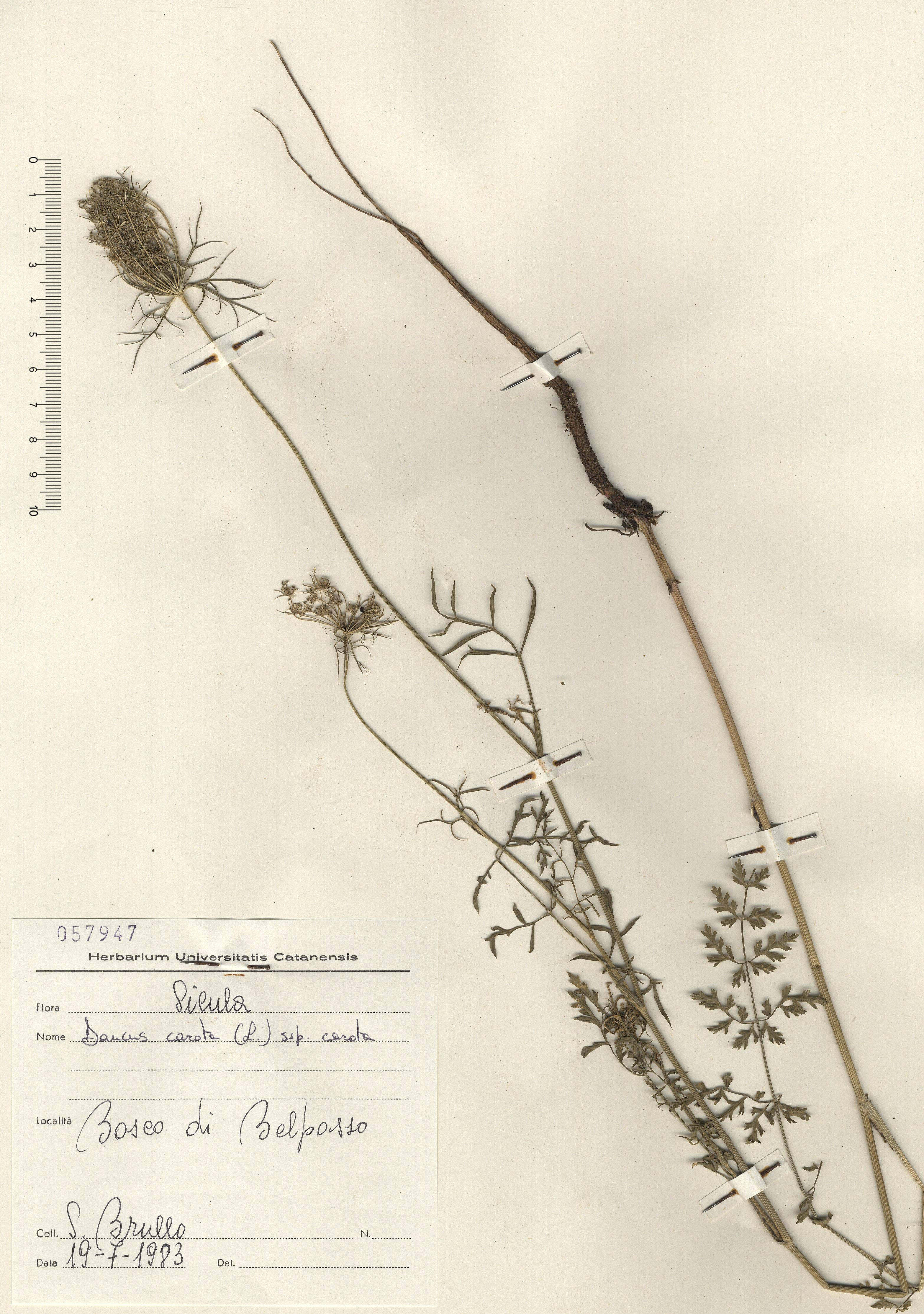 © Hortus Botanicus Catinensis - Herb. sheet 057947<br>