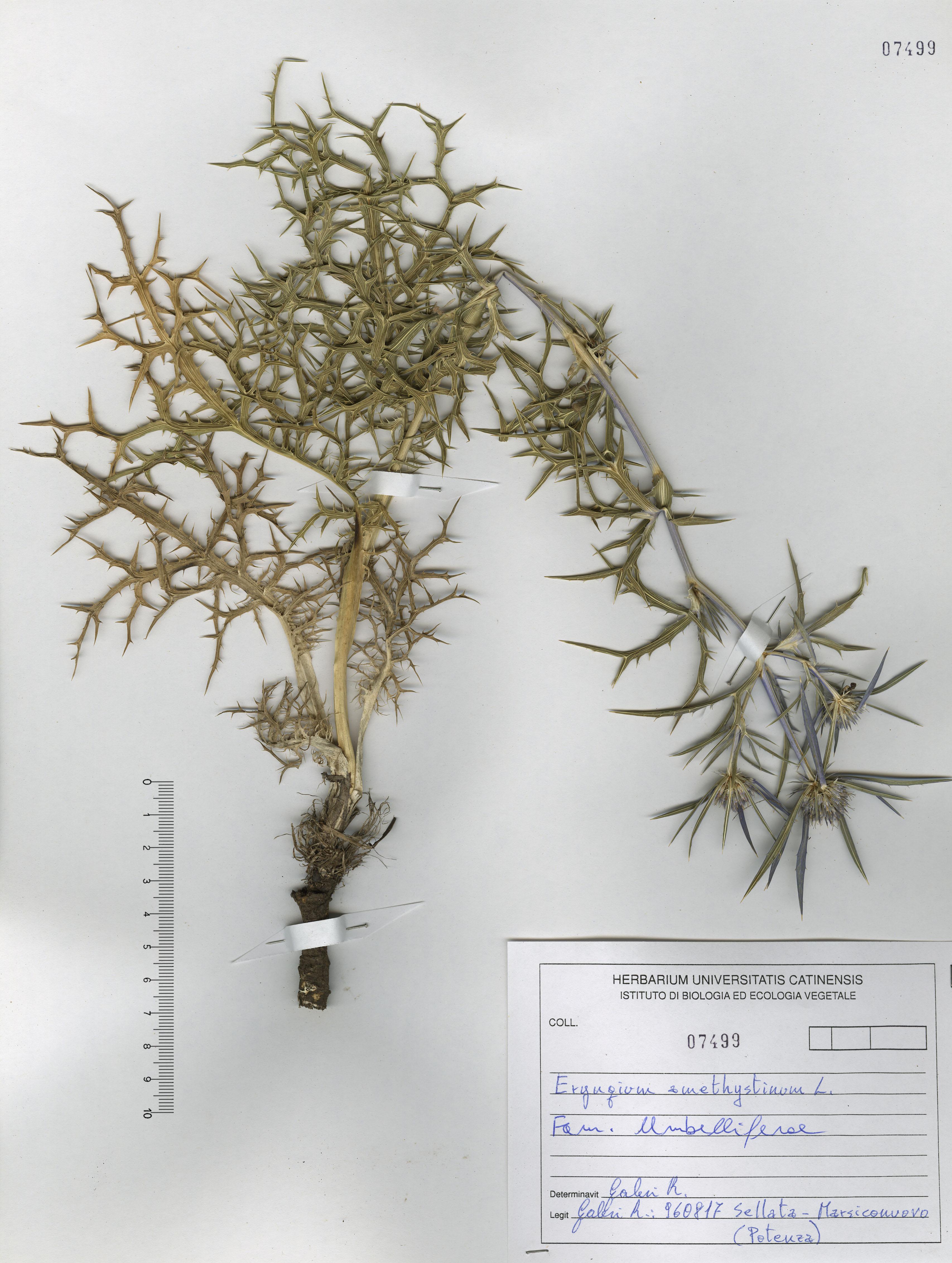 © Hortus Botanicus Catinensis - Herb. sheet 107499<br>