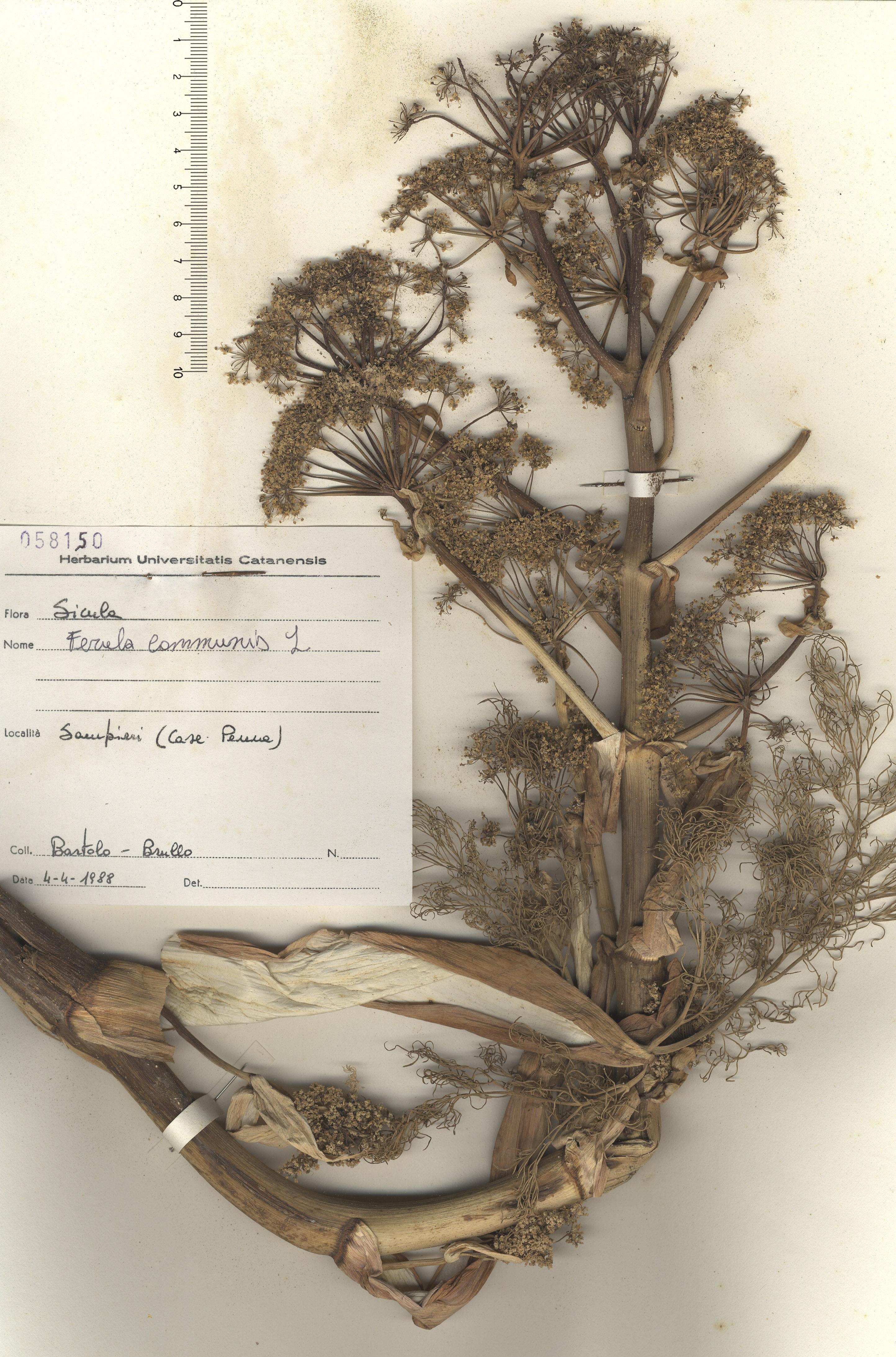 © Hortus Botanicus Catinensis - Herb. sheet 058150<br>