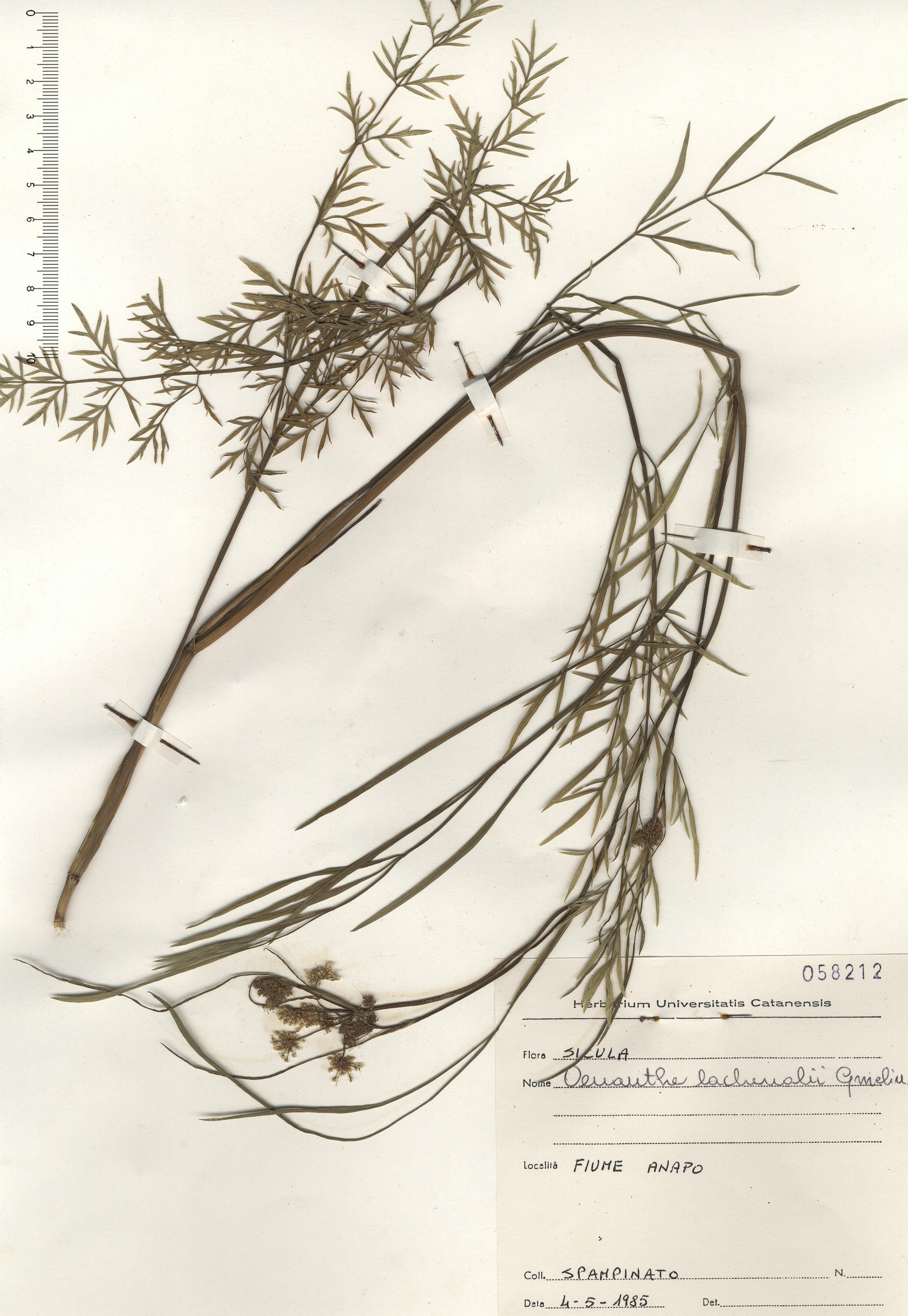 © Hortus Botanicus Catinensis - Herb. sheet 058212<br>