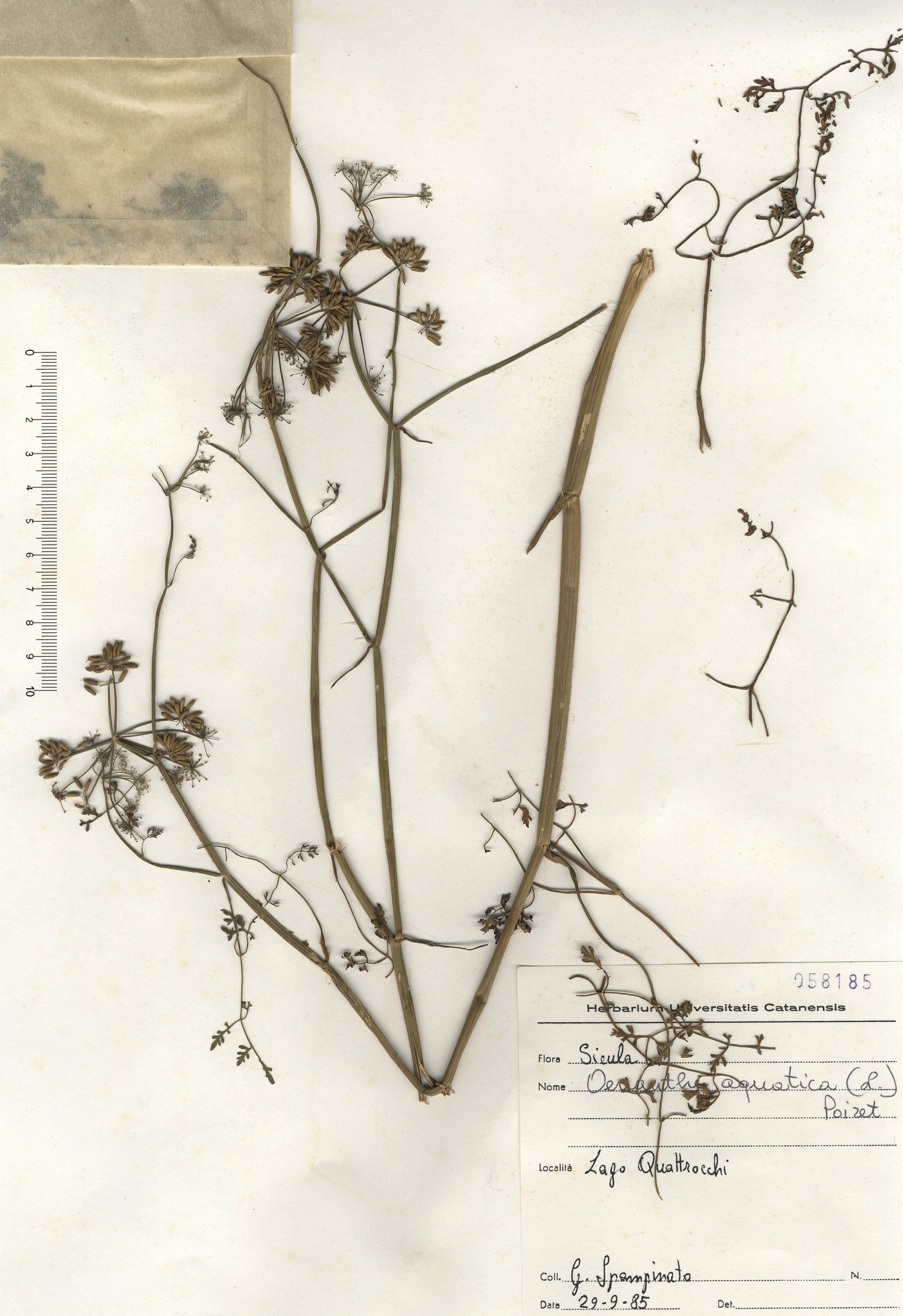 © Hortus Botanicus Catinensis - Herb. sheet 058185<br>