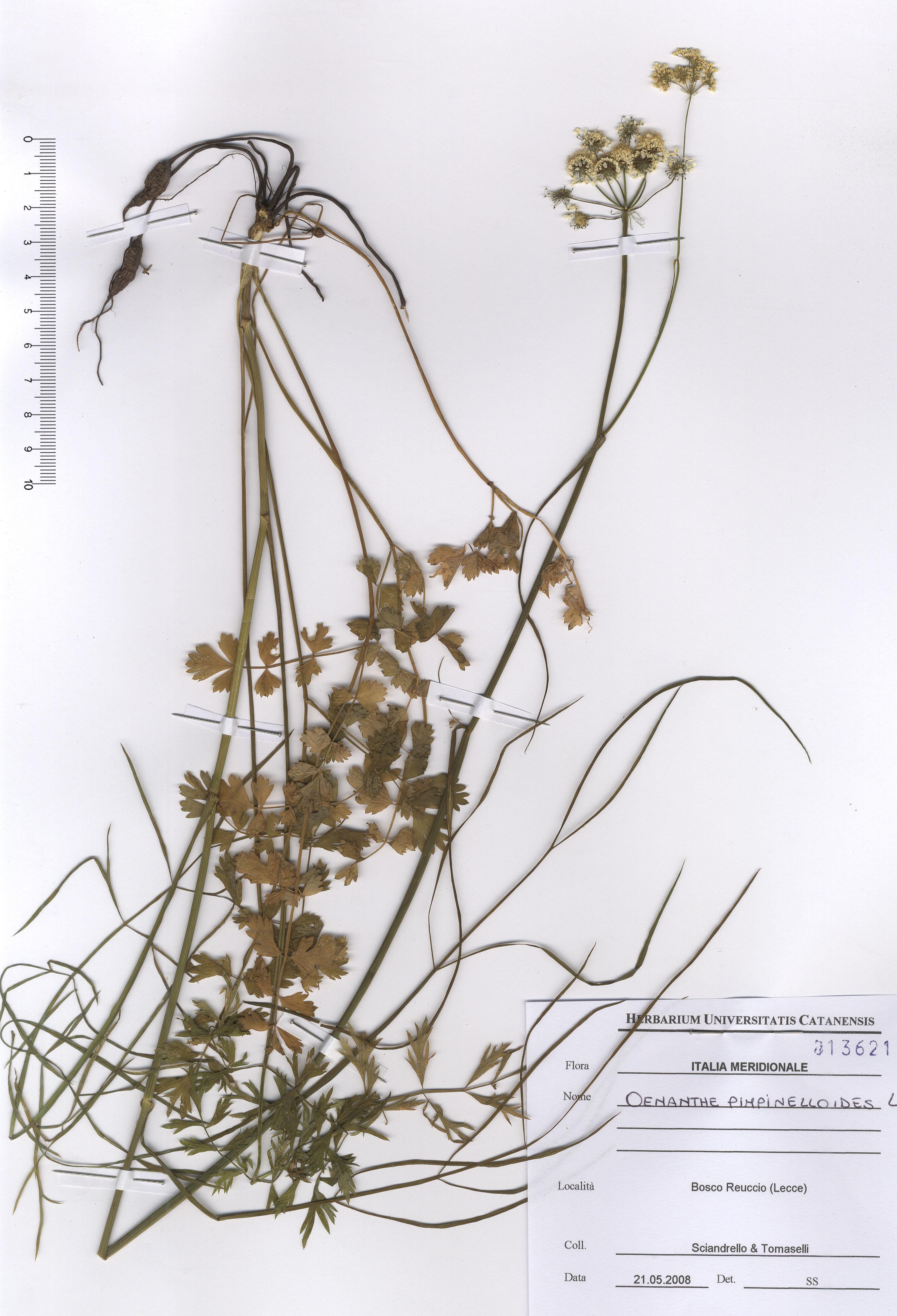 © Hortus Botanicus Catinensis - Herb. sheet 013621<br>