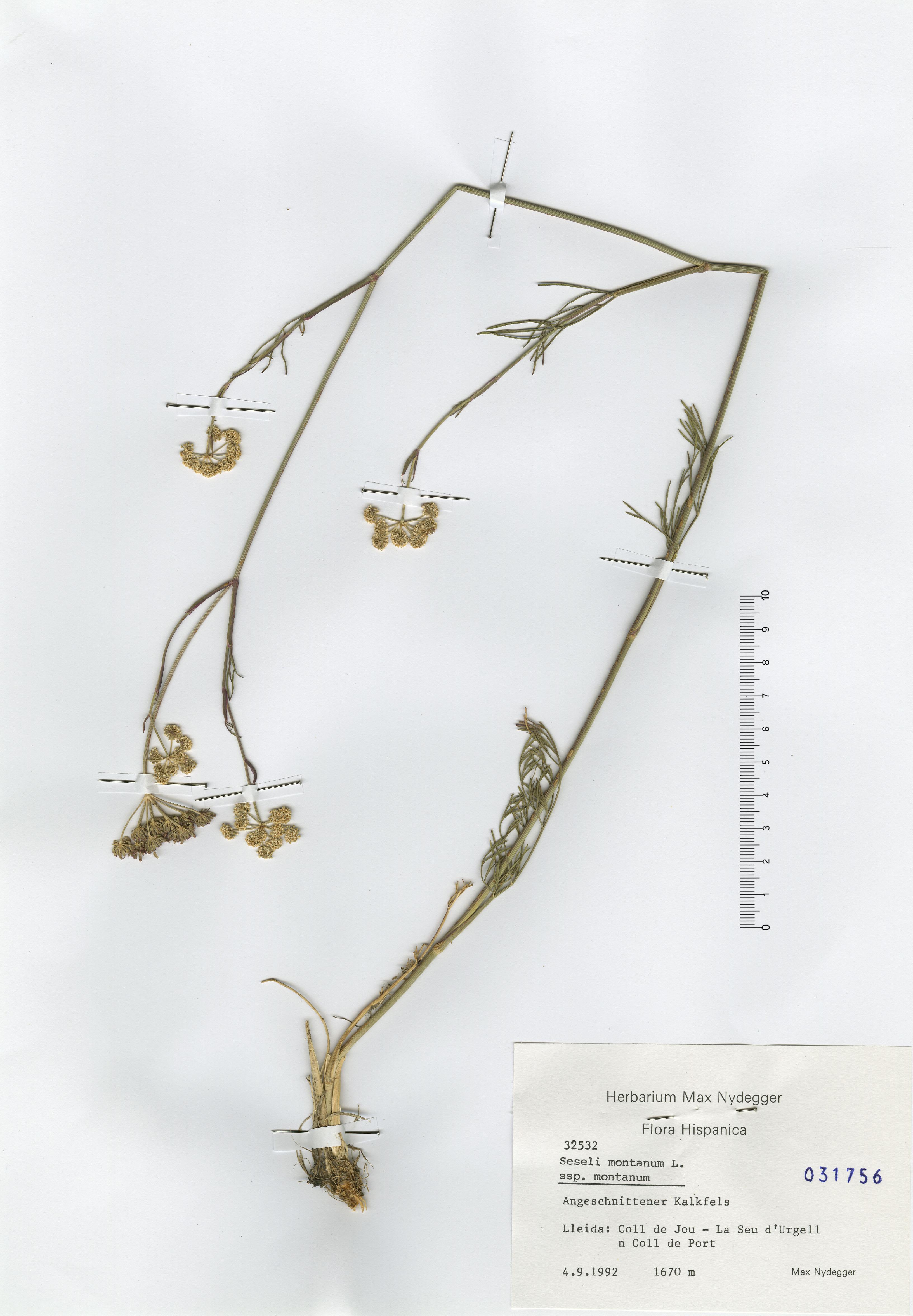 © Hortus Botanicus Catinensis - Herb. sheet 031756<br>