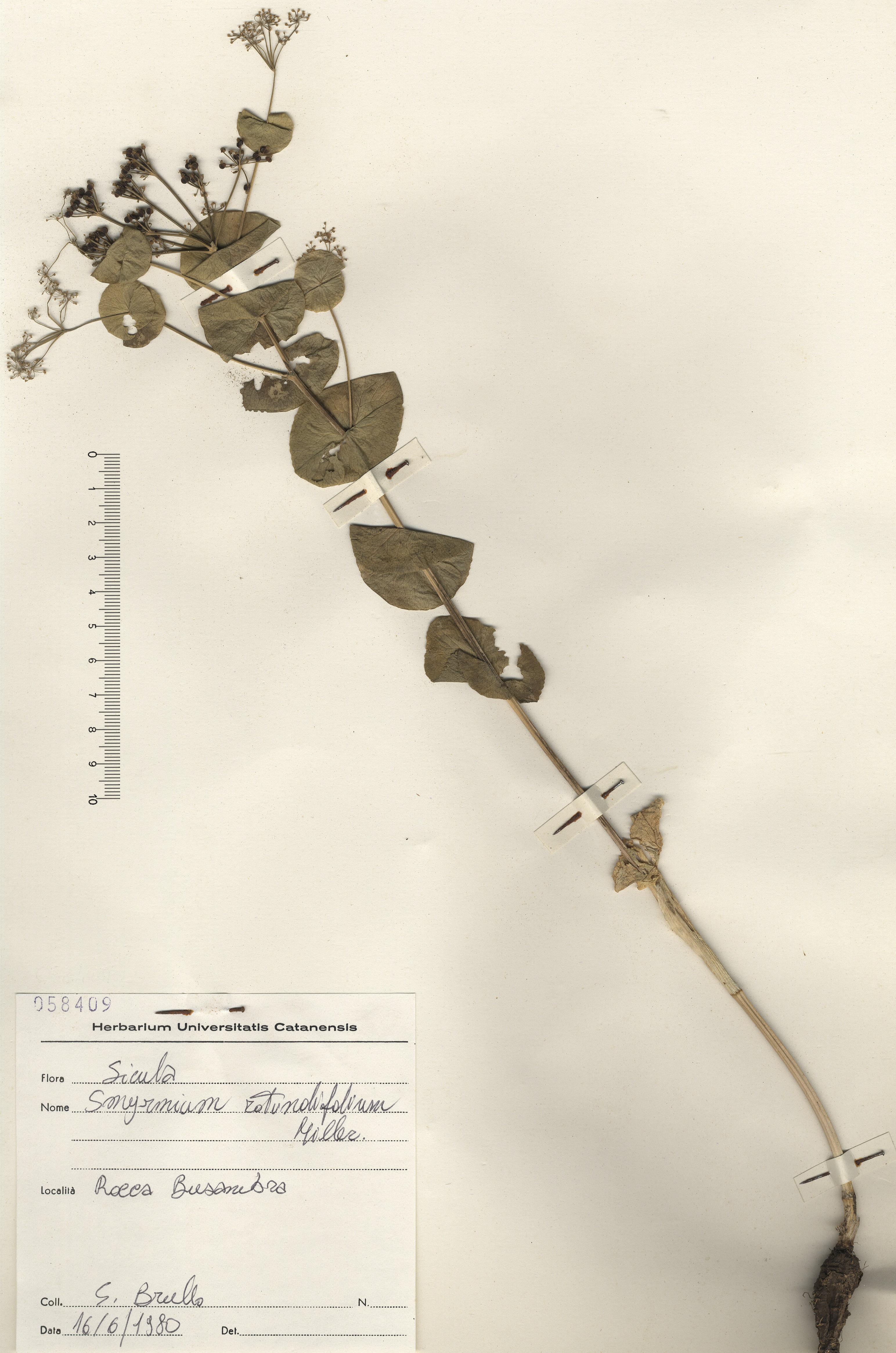 © Hortus Botanicus Catinensis - Herb. sheet 058409<br>