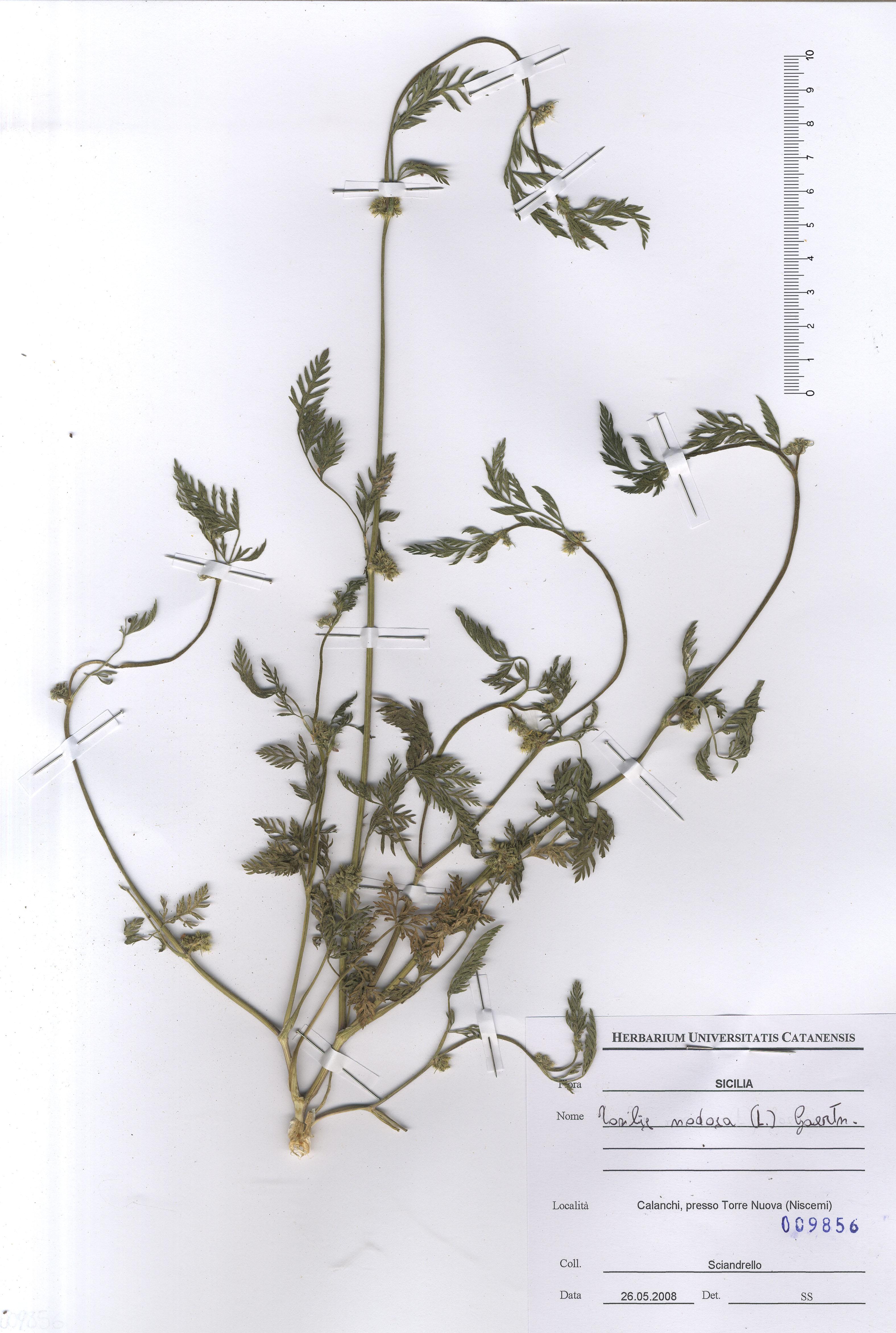 © Hortus Botanicus Catinensis - Herb. sheet 009856<br>