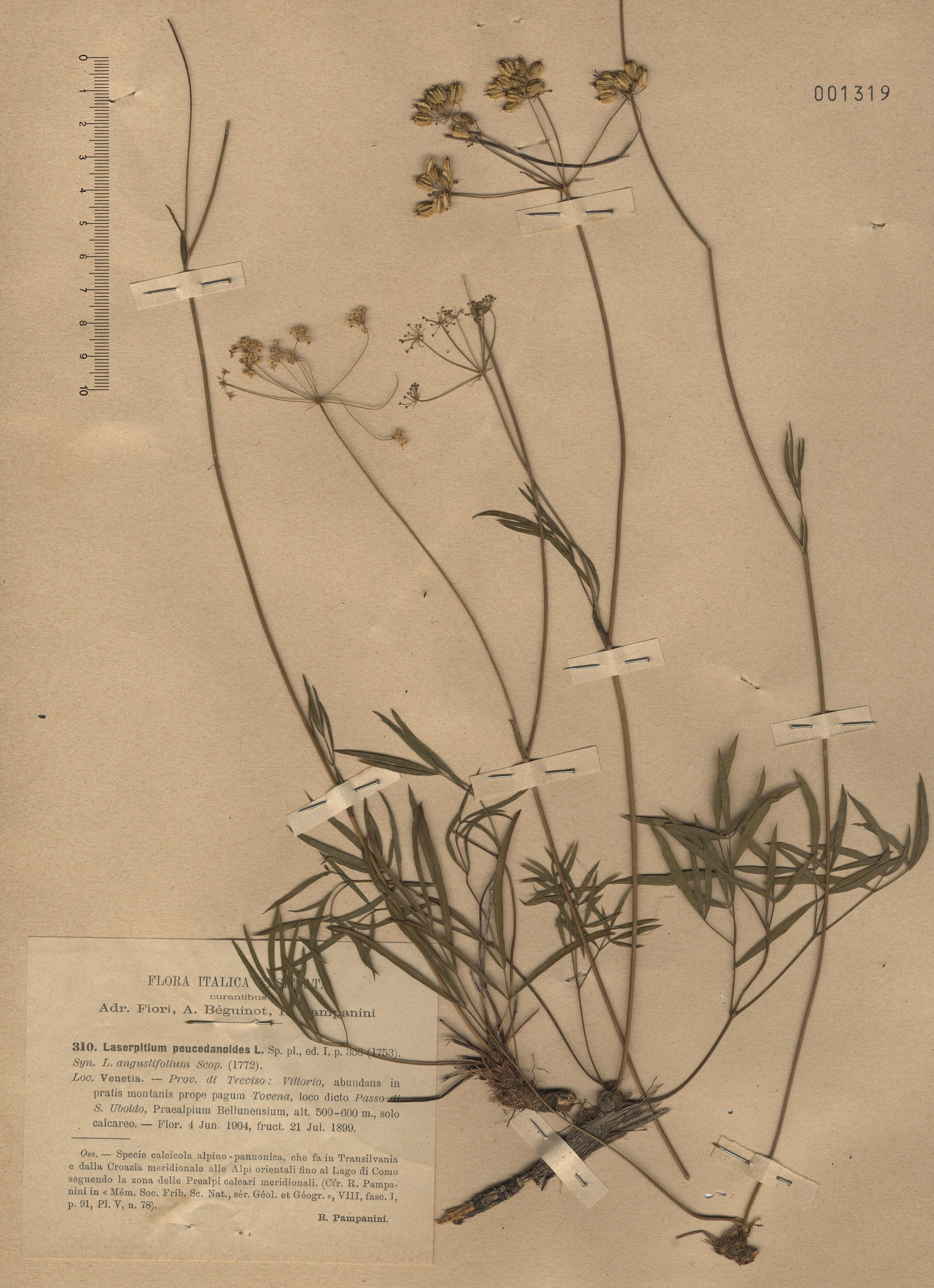 © Hortus Botanicus Catinensis - Herb. sheet 001319<br>