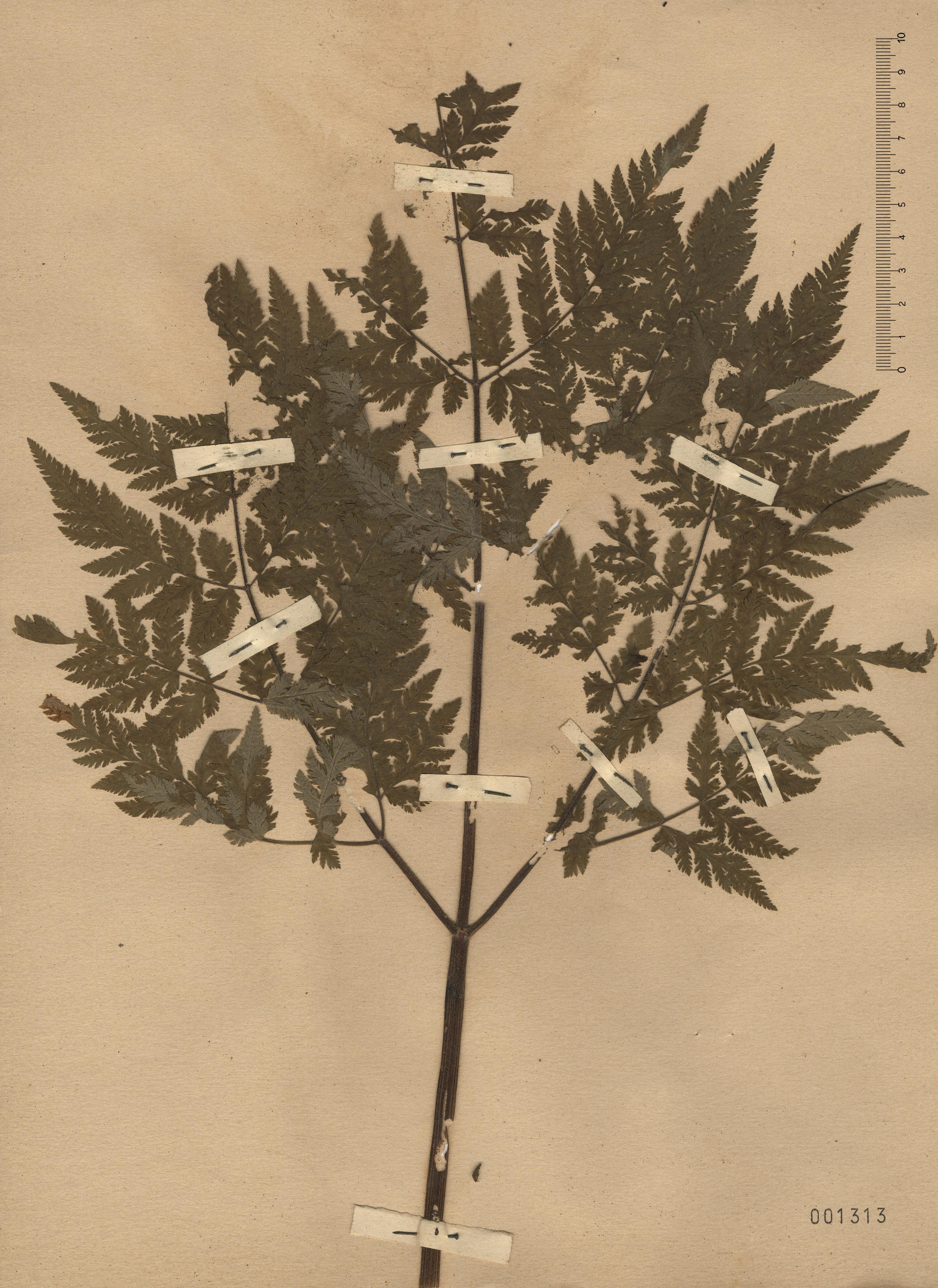 © Hortus Botanicus Catinensis - Herb. sheet 001313<br>