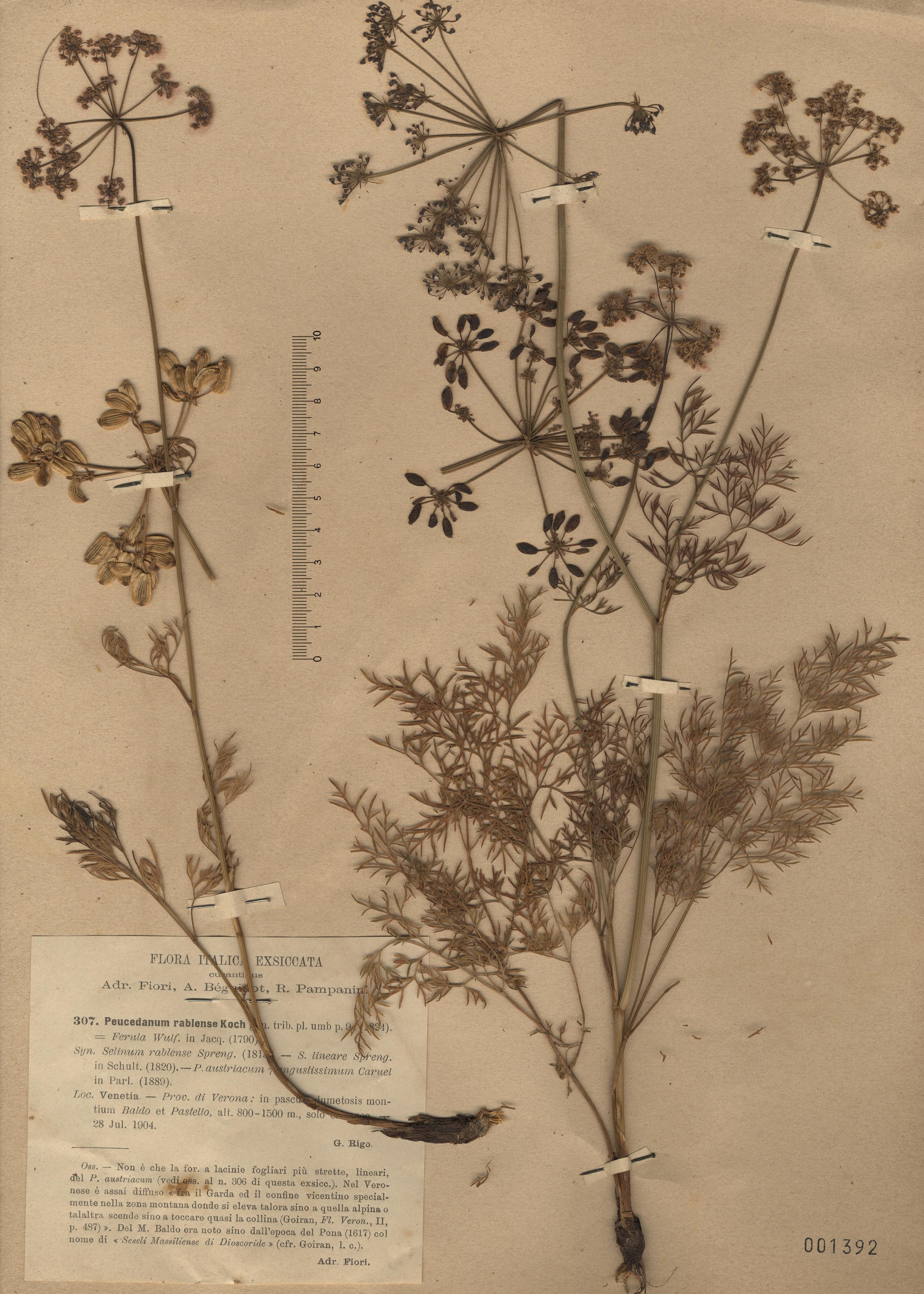 © Hortus Botanicus Catinensis - Herb. sheet 001392<br>