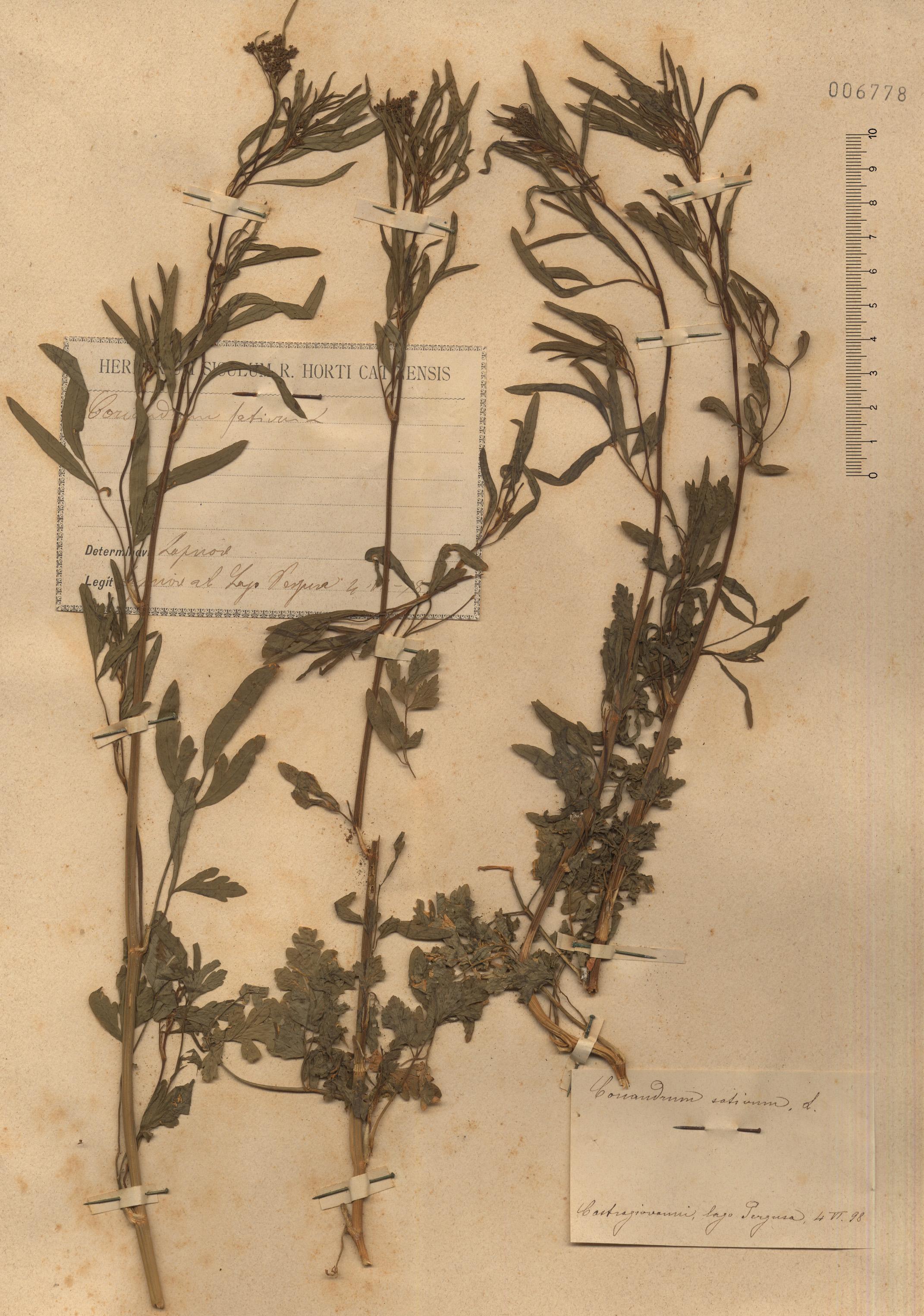 © Hortus Botanicus Catinensis - Herb. sheet 006778<br>
