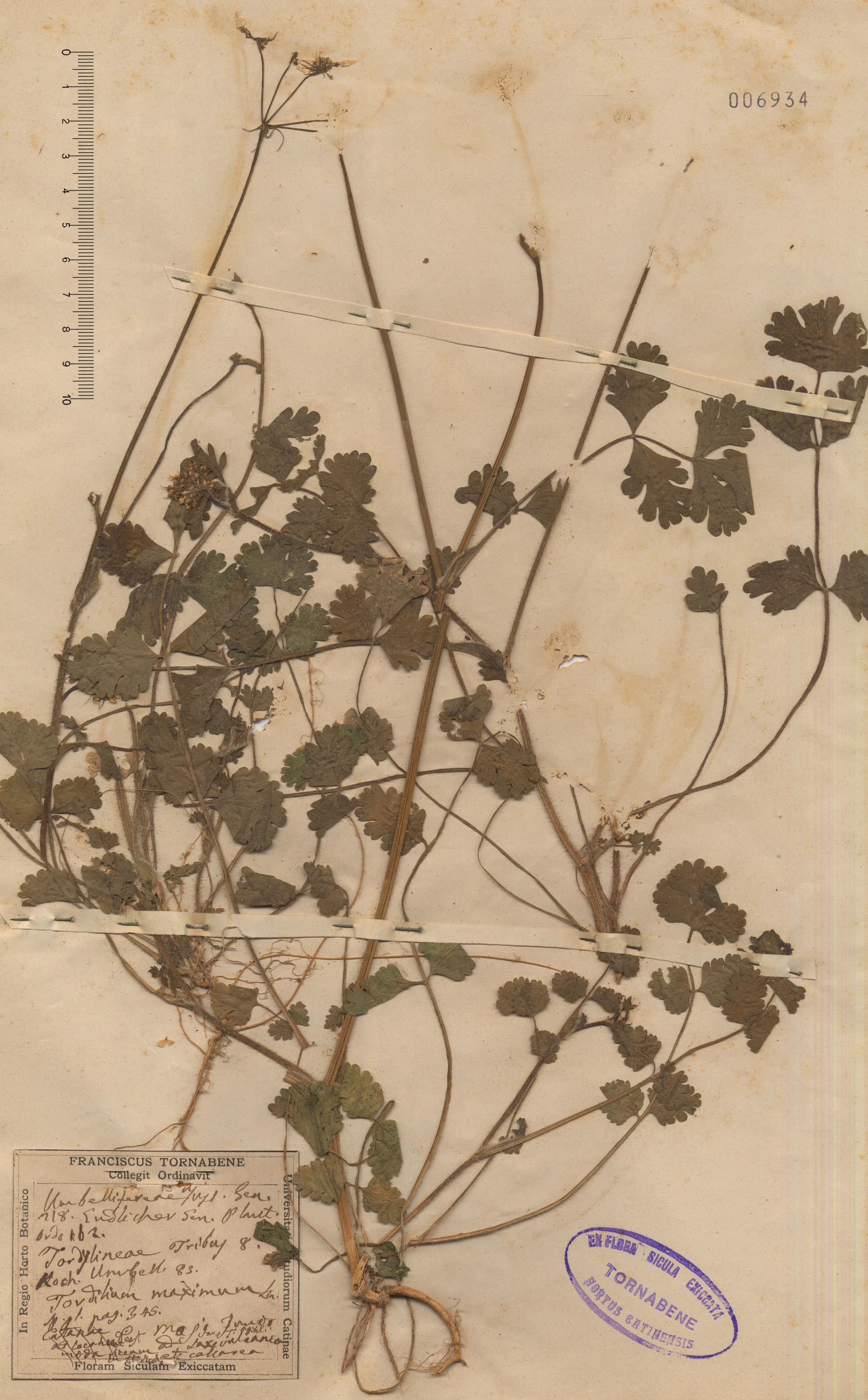 © Hortus Botanicus Catinensis - Herb. sheet 006934<br>