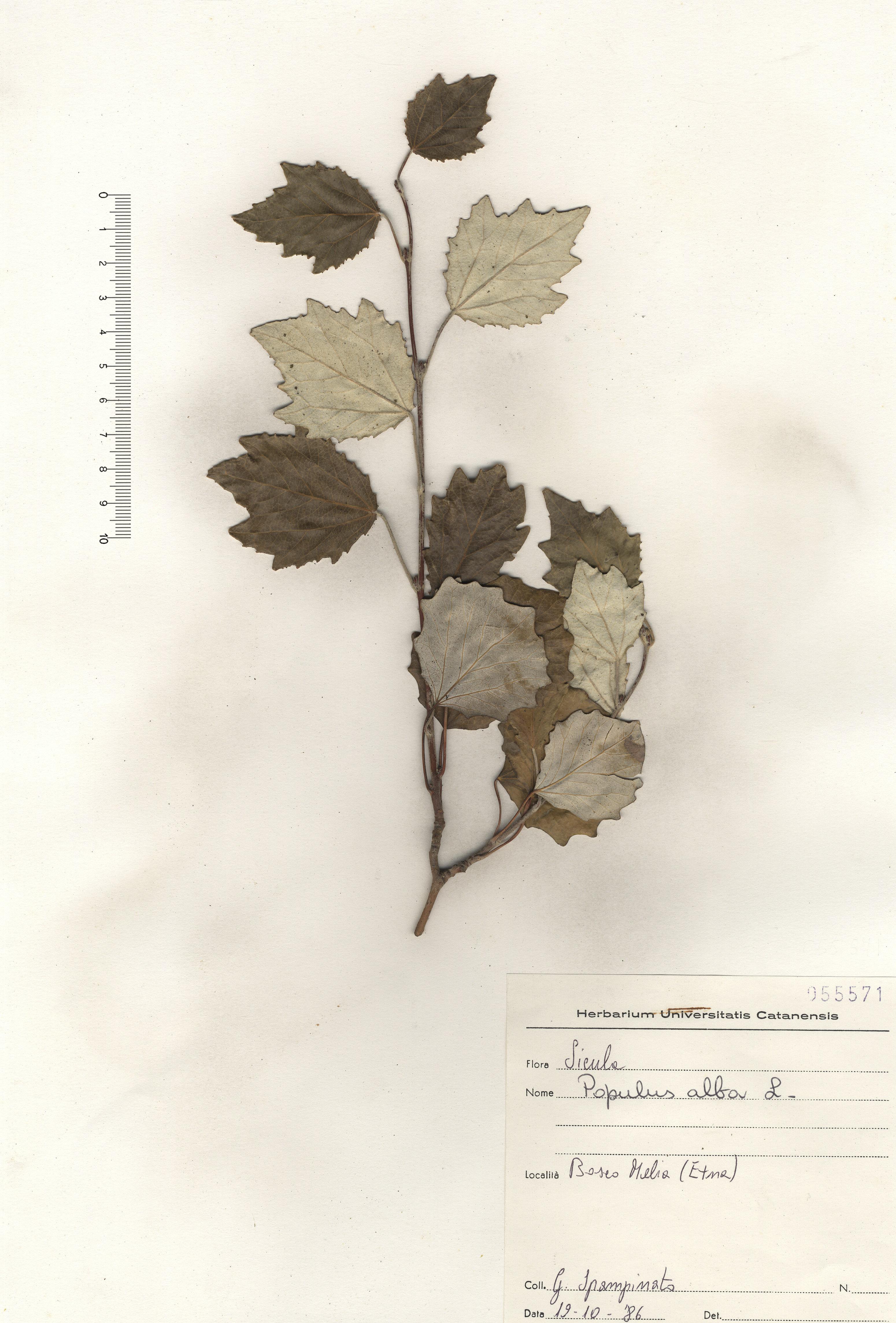 © Hortus Botanicus Catinensis - Herb. sheet 055571<br>