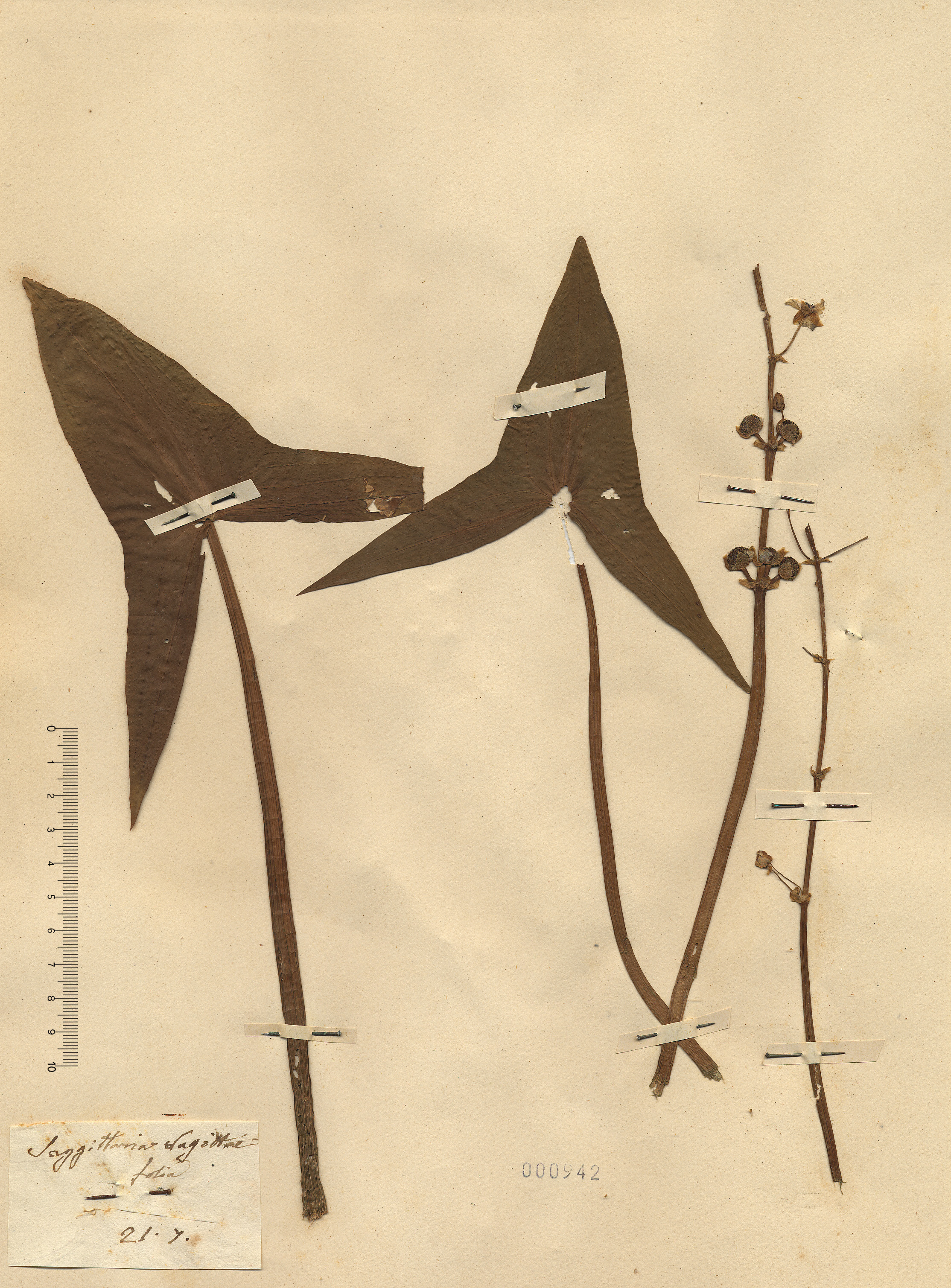 © Hortus Botanicus Catinensis - Herb. sheet 000942<br>