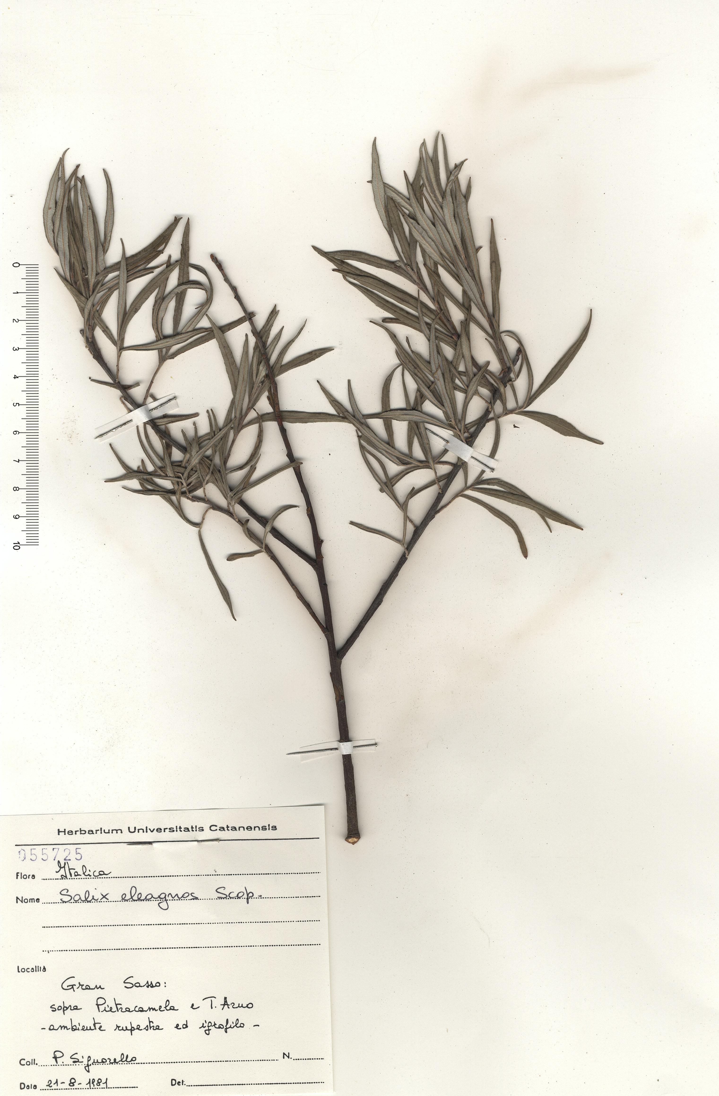 © Hortus Botanicus Catinensis - Herb. sheet 055725<br>