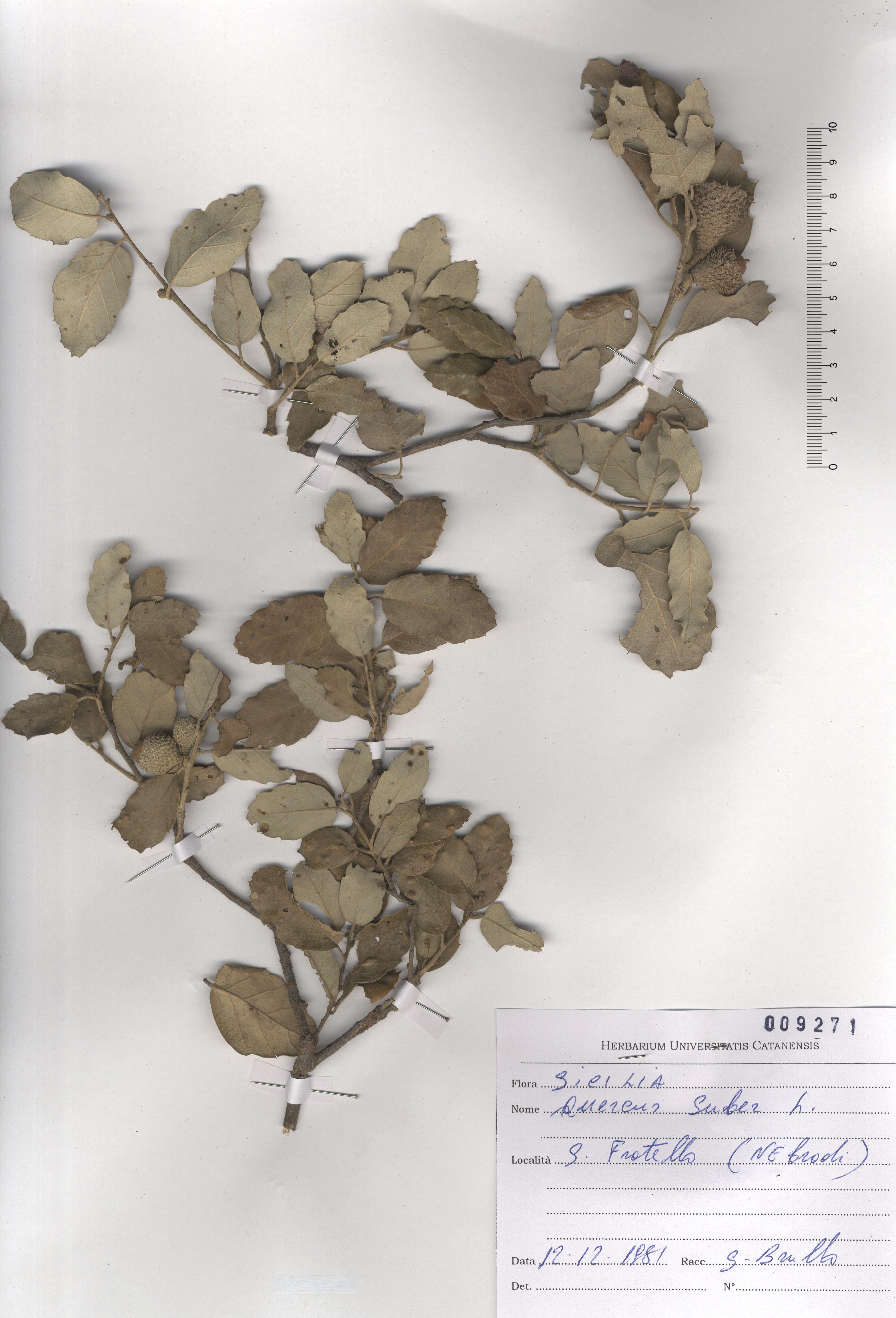 © Hortus Botanicus Catinensis - Herb. sheet 009271<br>