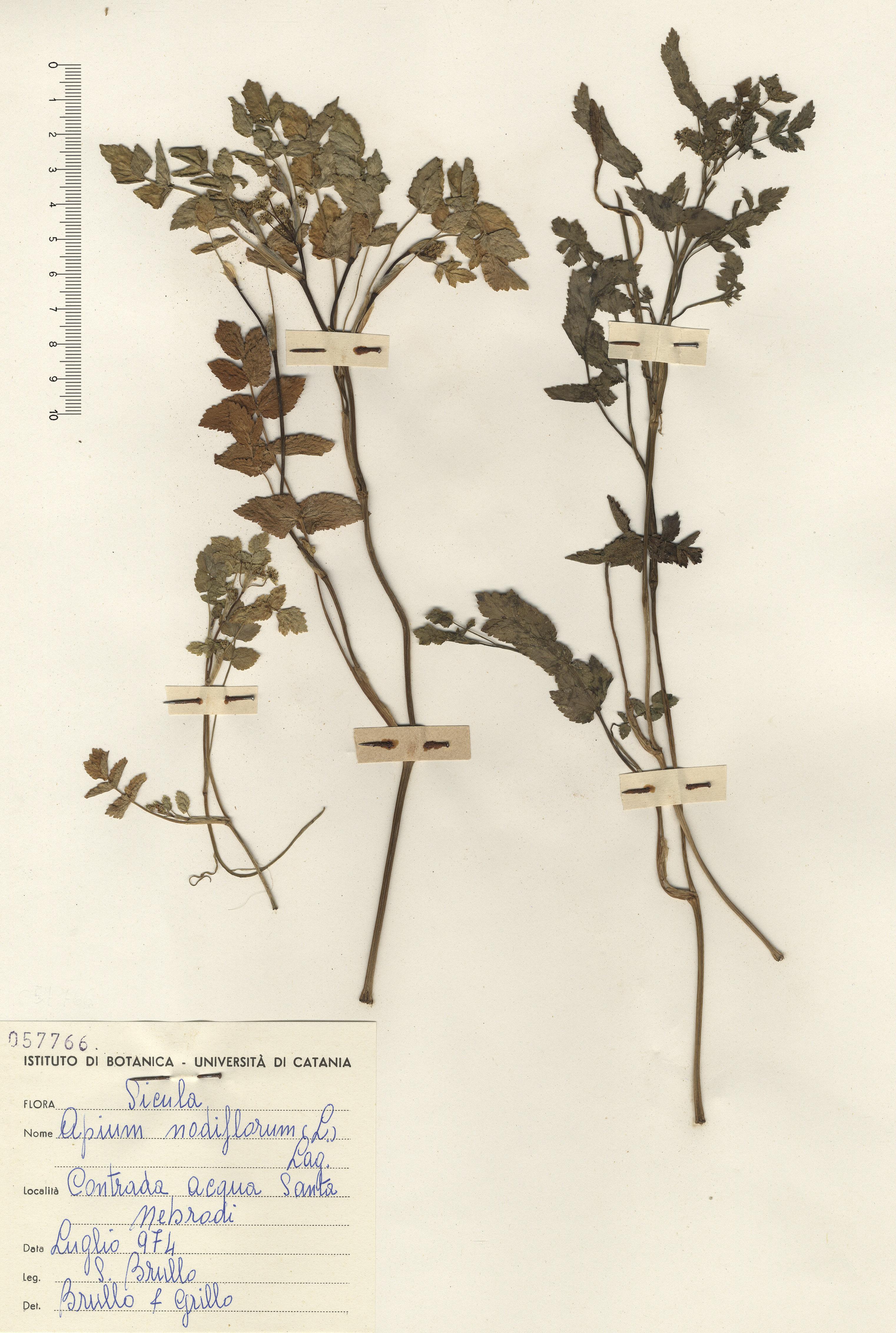 © Hortus Botanicus Catinensis - Herb. sheet 057766<br>