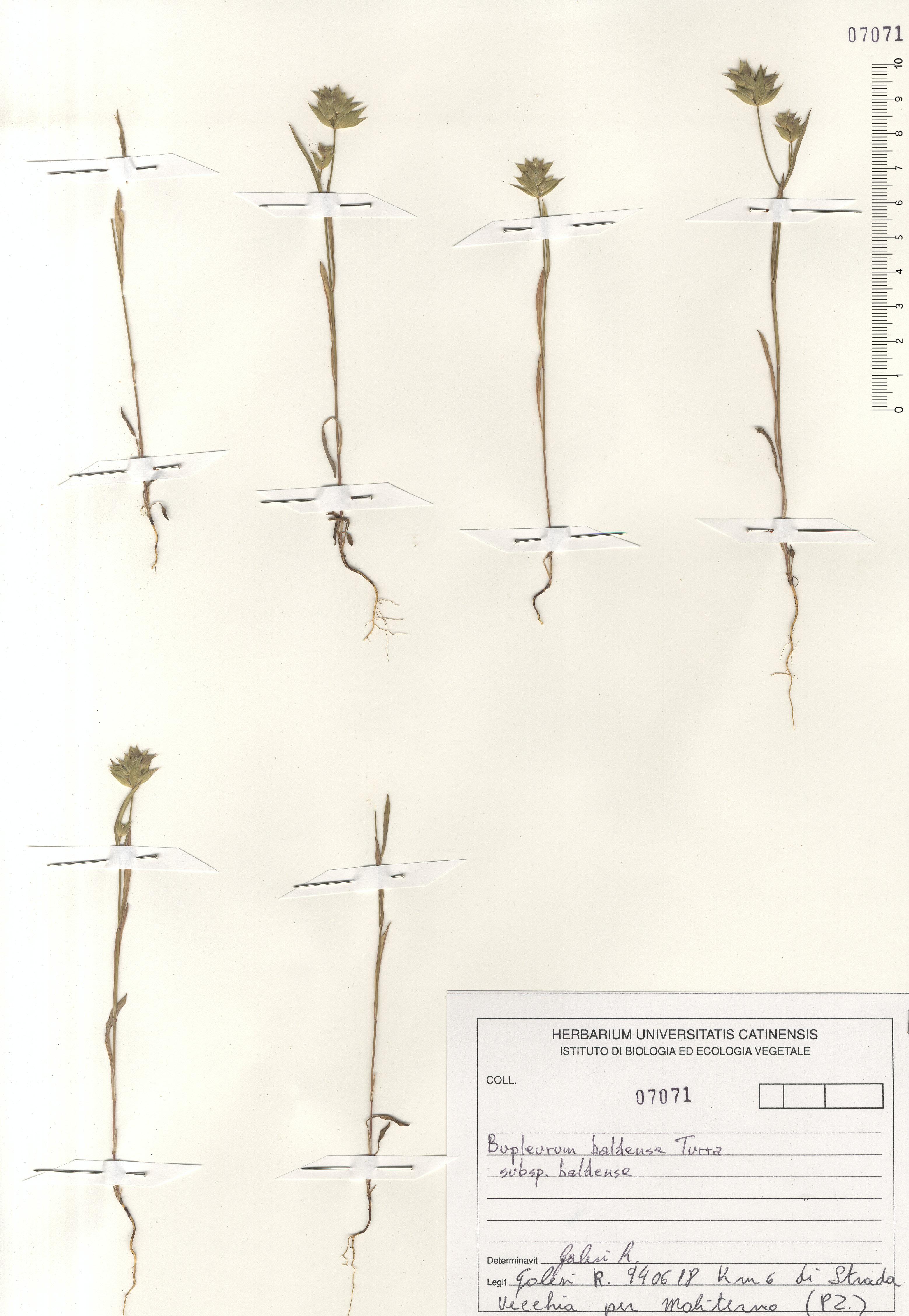 © Hortus Botanicus Catinensis - Herb. sheet 107071<br>