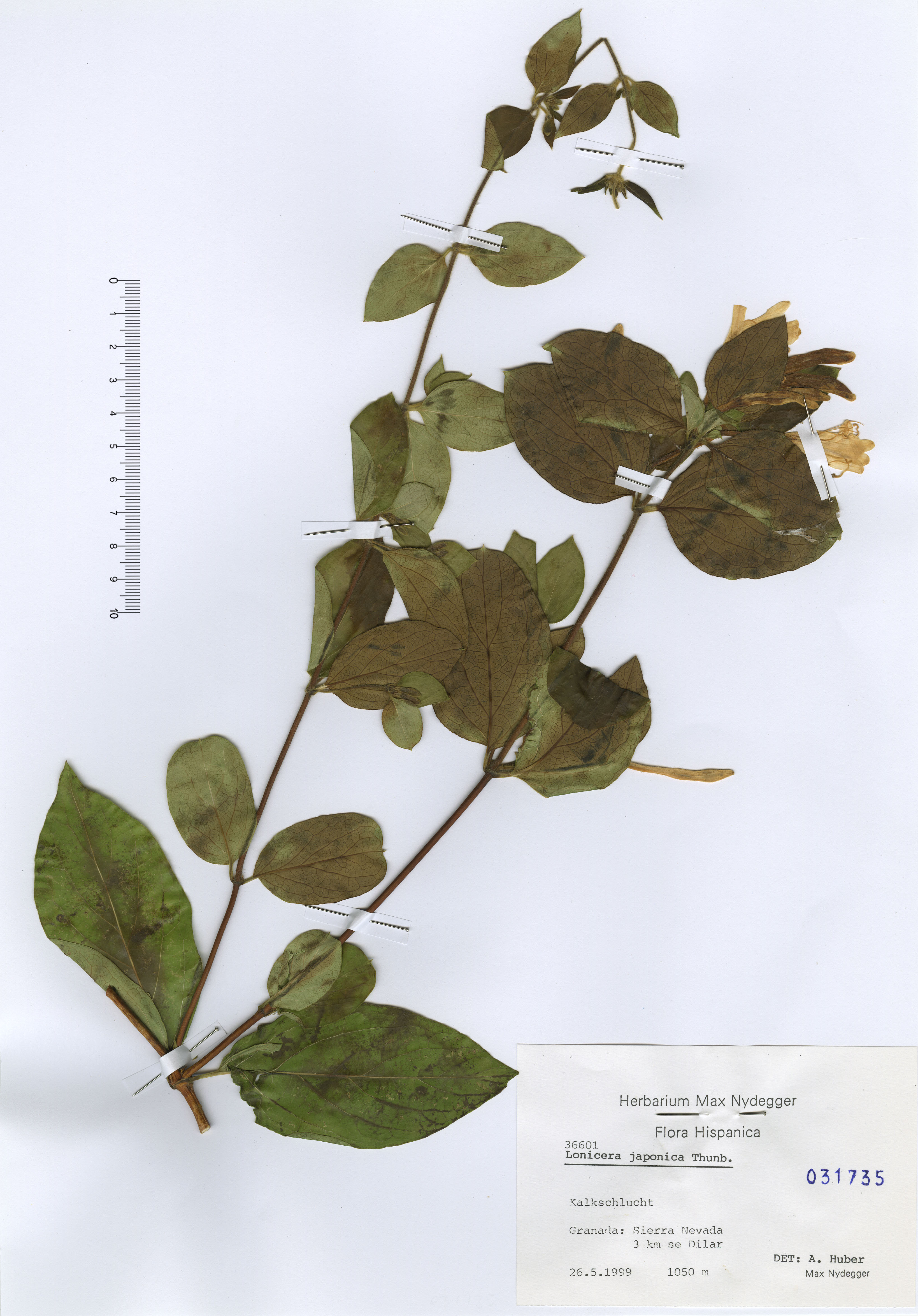 © Hortus Botanicus Catinensis - Herb. sheet 031735<br>