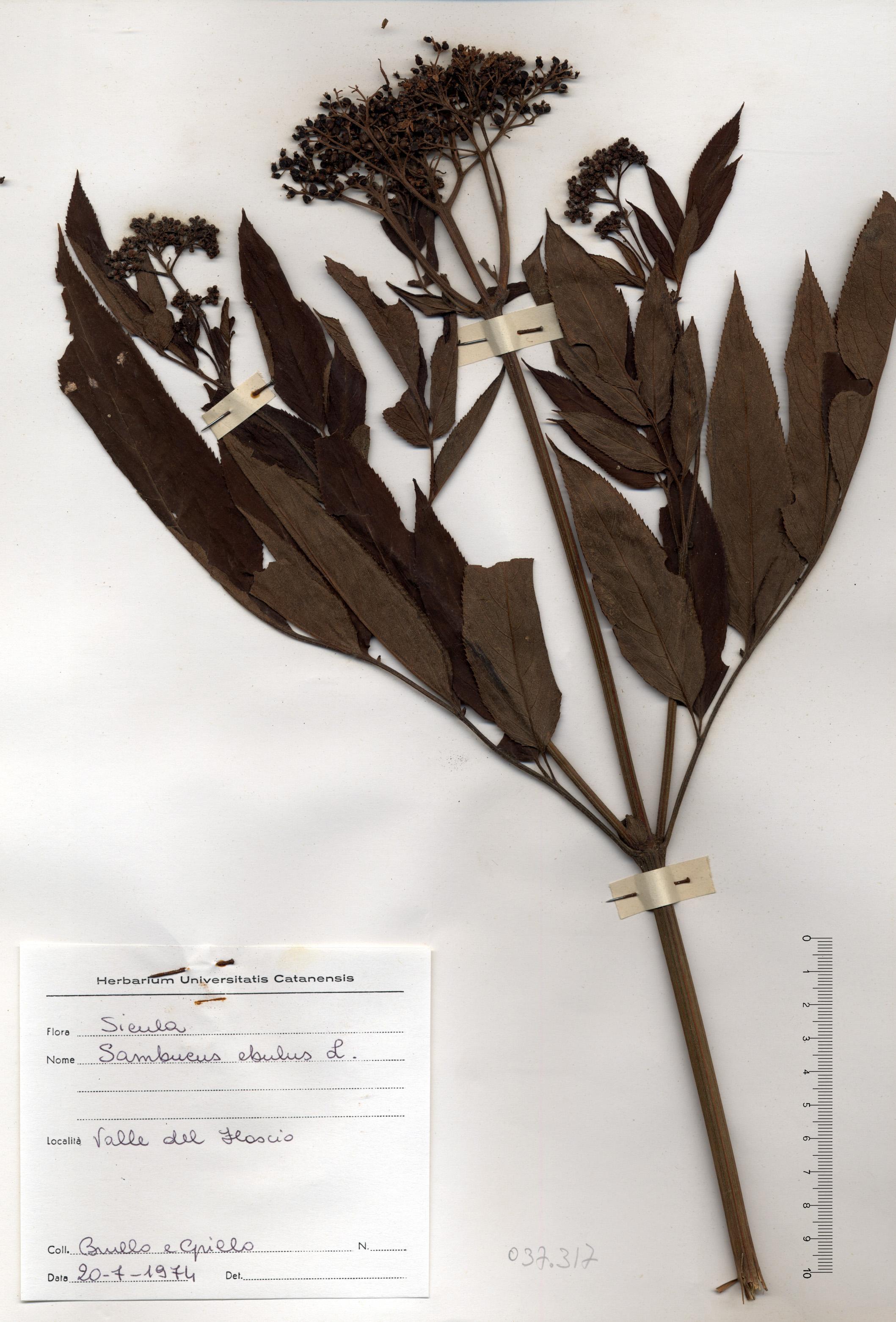 © Hortus Botanicus Catinensis - Herb. sheet 037617<br>