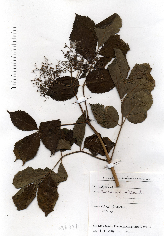 © Hortus Botanicus Catinensis - Herb. sheet 037331<br>