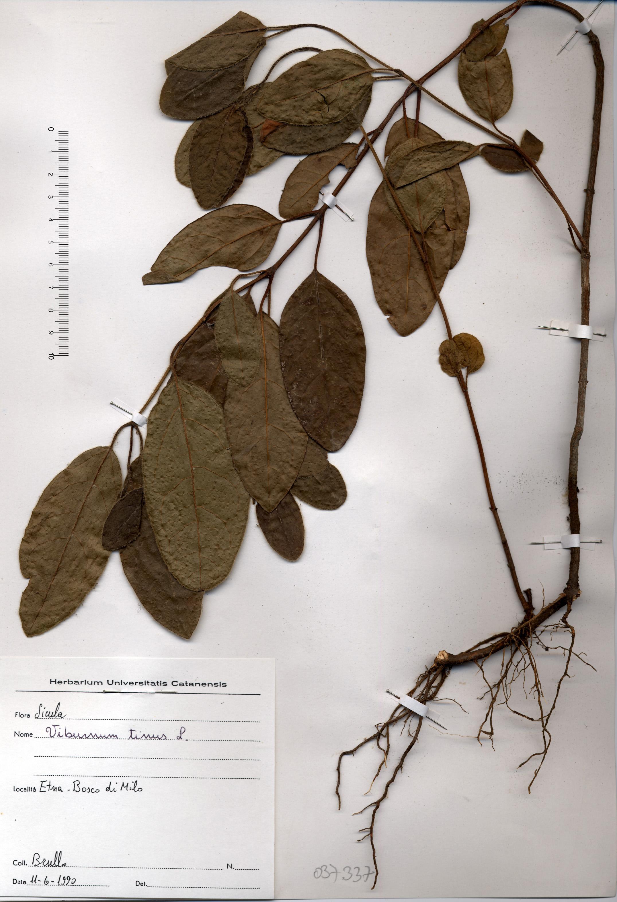 © Hortus Botanicus Catinensis - Herb. sheet 037337<br>