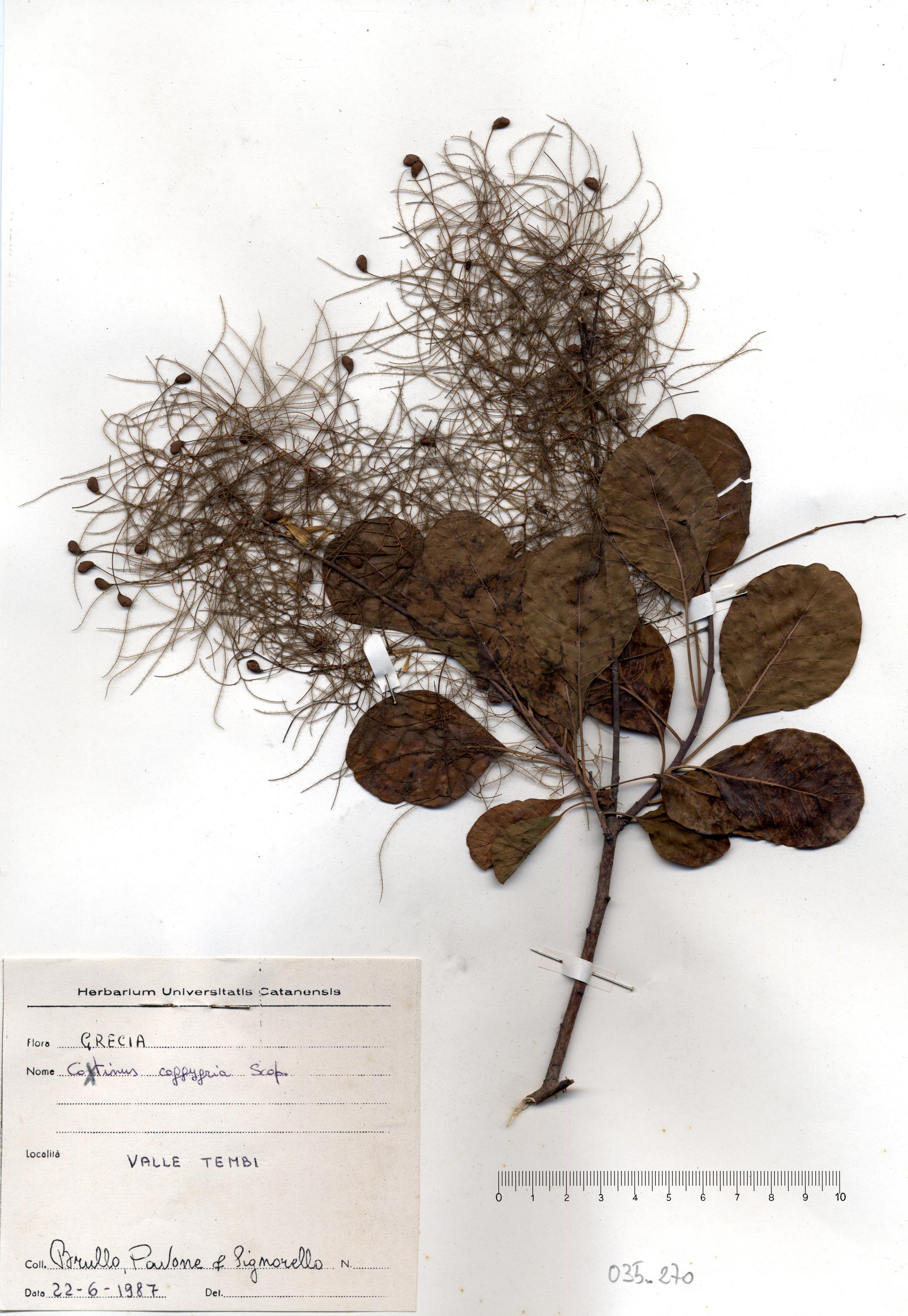 © Hortus Botanicus Catinensis - Herb. sheet 035270<br>