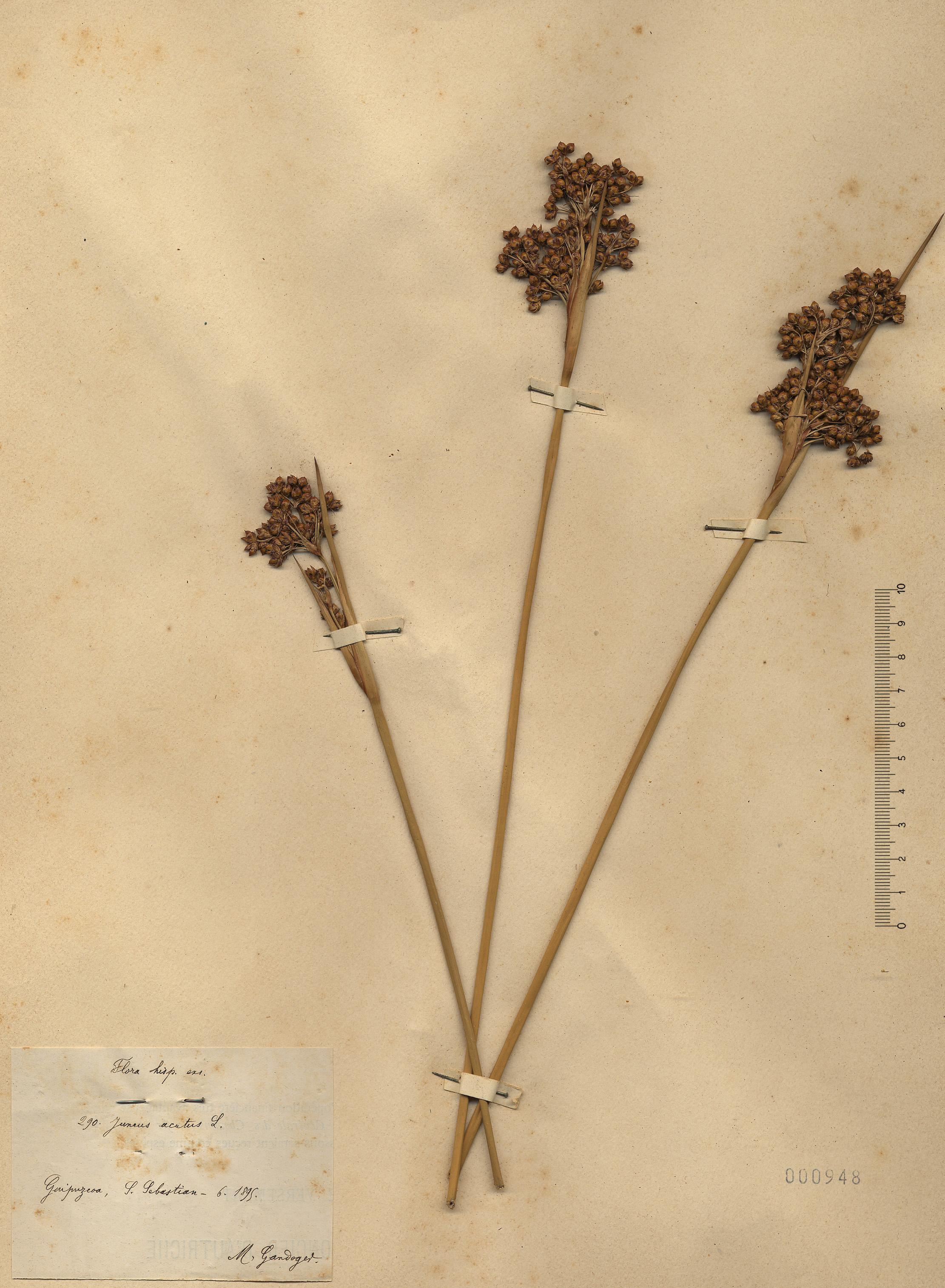 &copy; Hortus Botanicus Catinensis - Herb. sheet 000948<br>